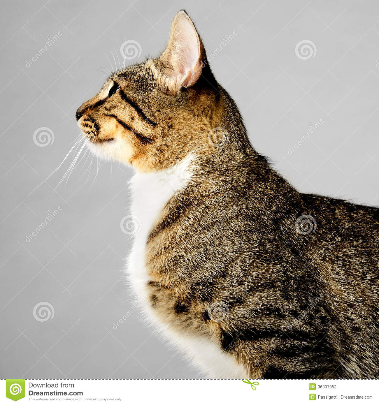 Cat With Brown Gray Black Tabby