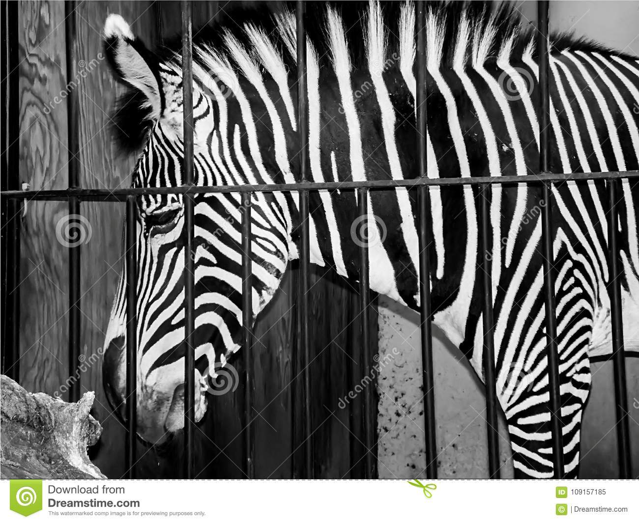 Profile of a sad zebra in a cage at the zoo in black and white