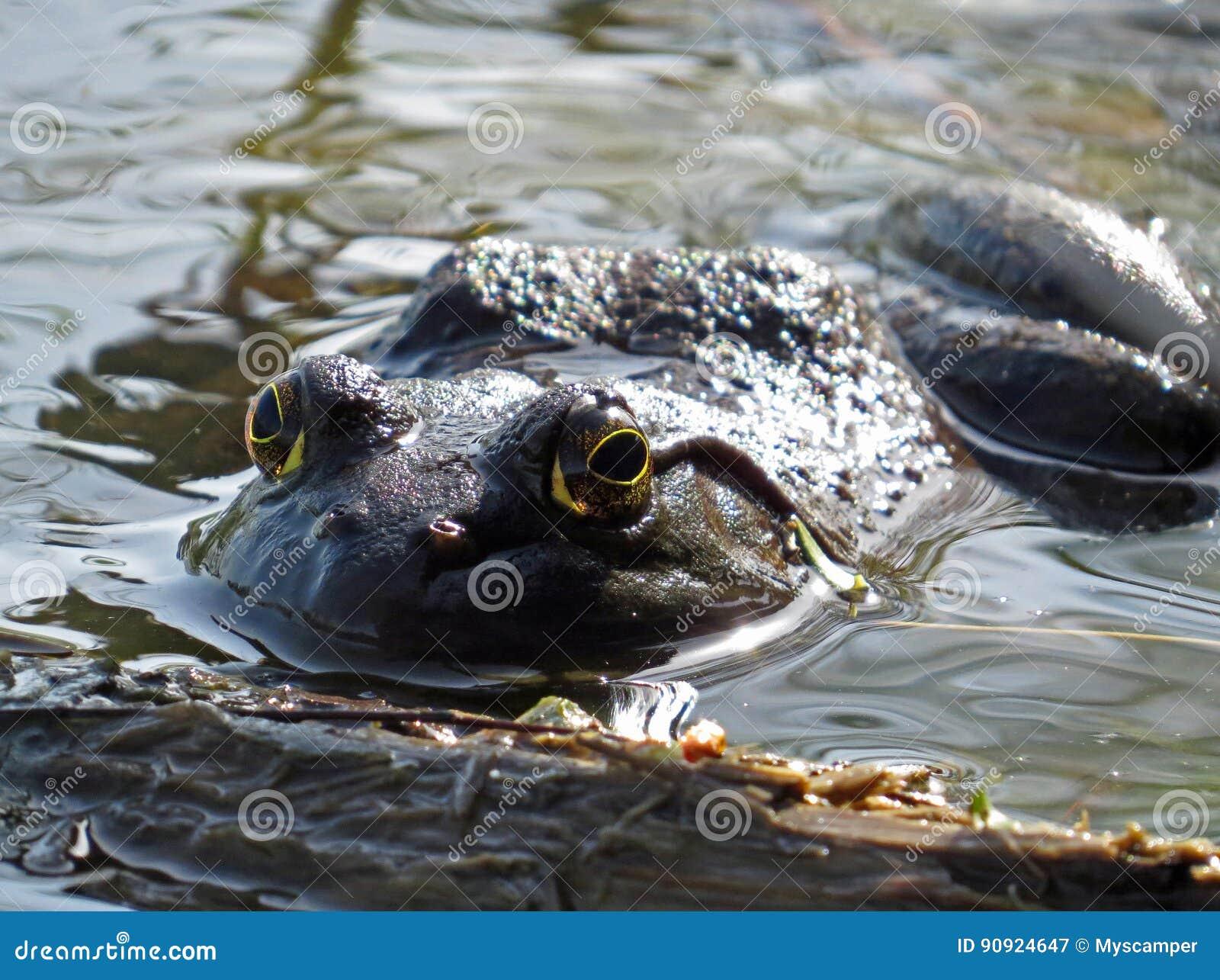 Profilo americano della rana toro