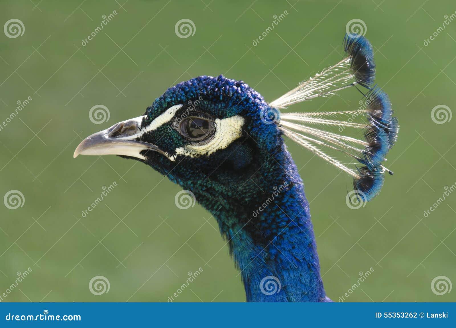 Profilo del pavone