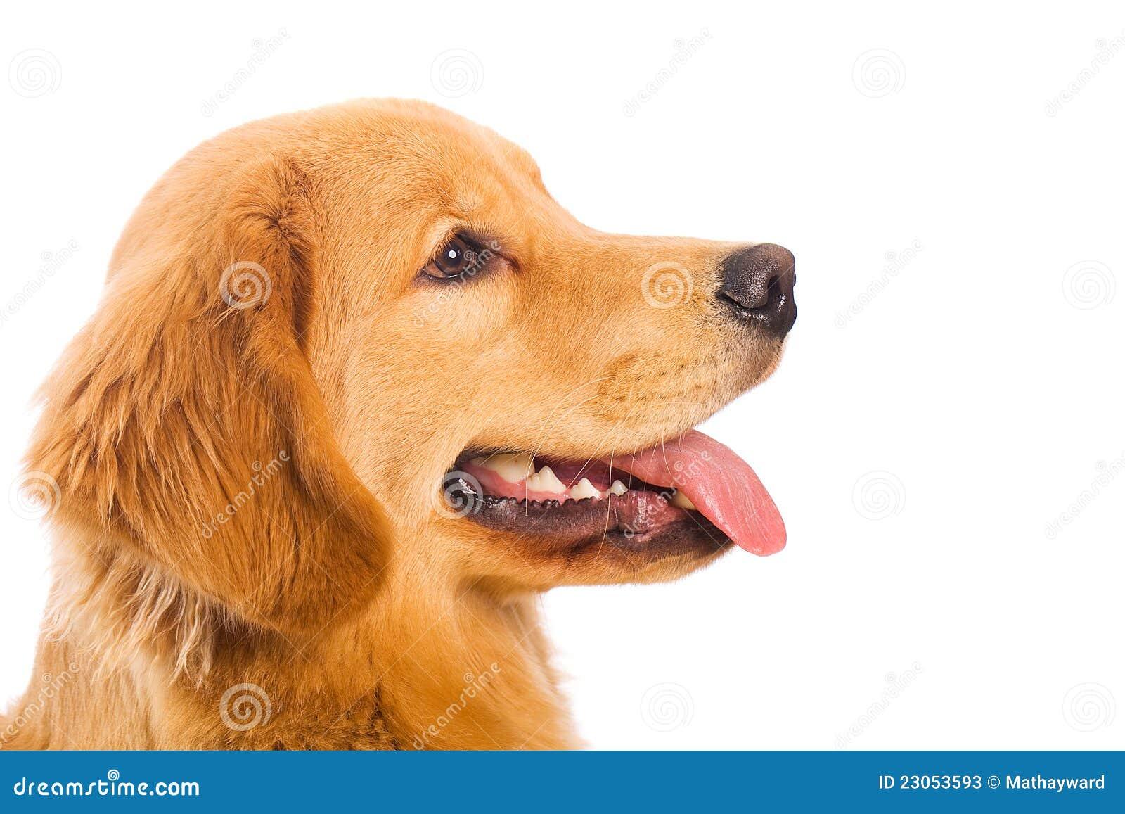 Profilo di un cane del documentalista dorato fotografie - Colorazione immagine di un cane ...