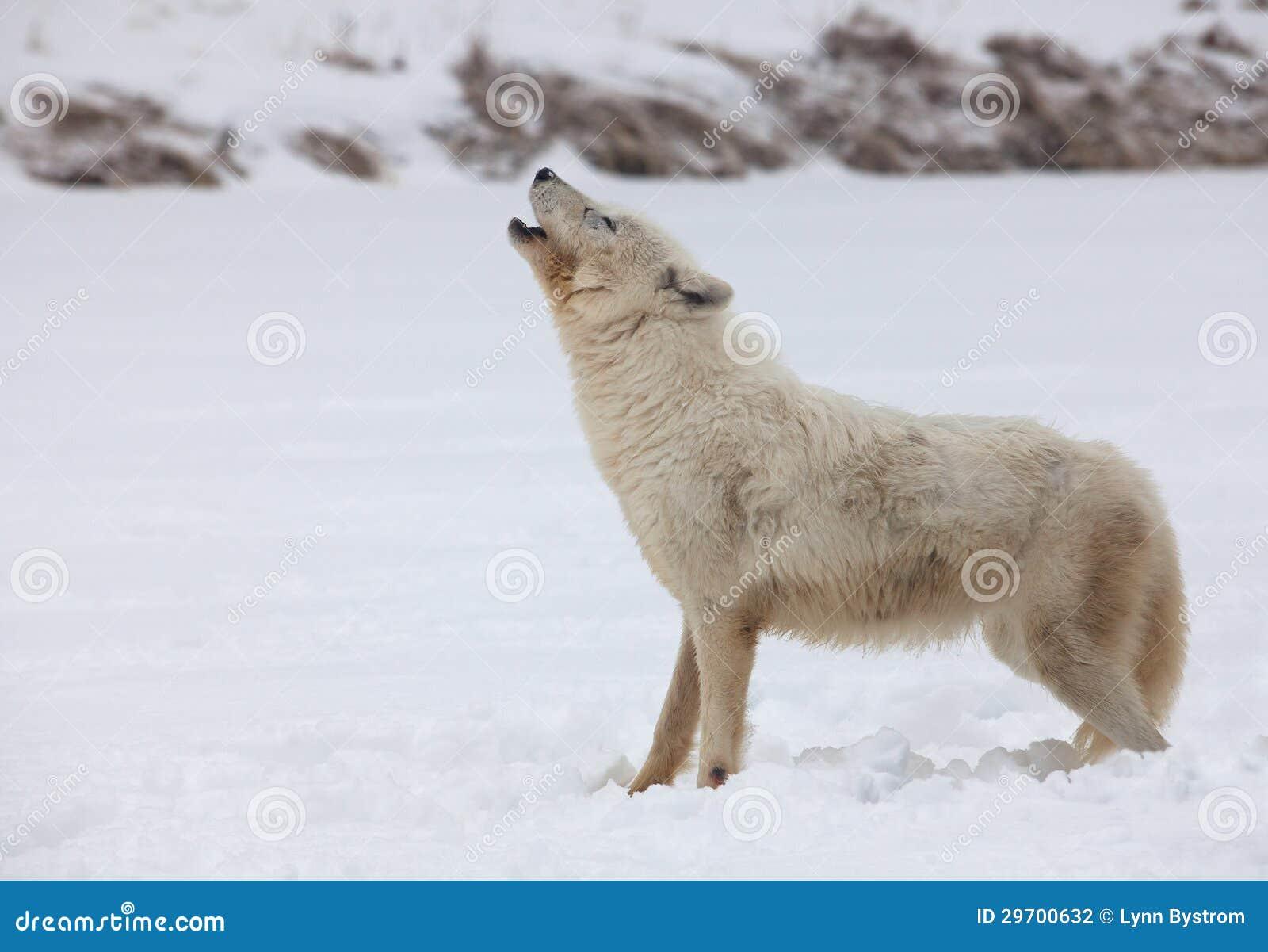 Lupo artico che urla