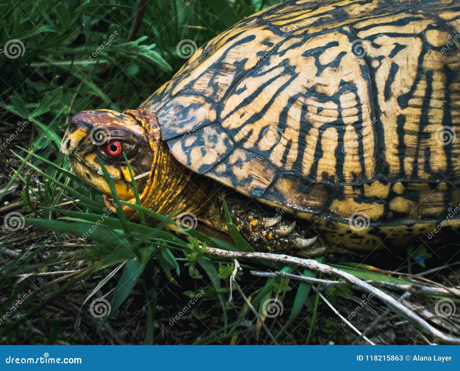 Profilo orientale maschio del lato della tartaruga di scatola