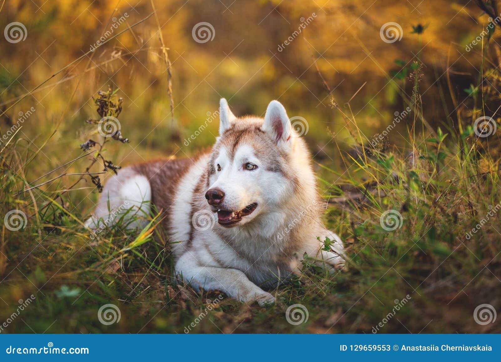 Profilstående av den ursnygga och prideful siberian skrovliga hunden som ligger i den ljusa nedgångskogen på solnedgången
