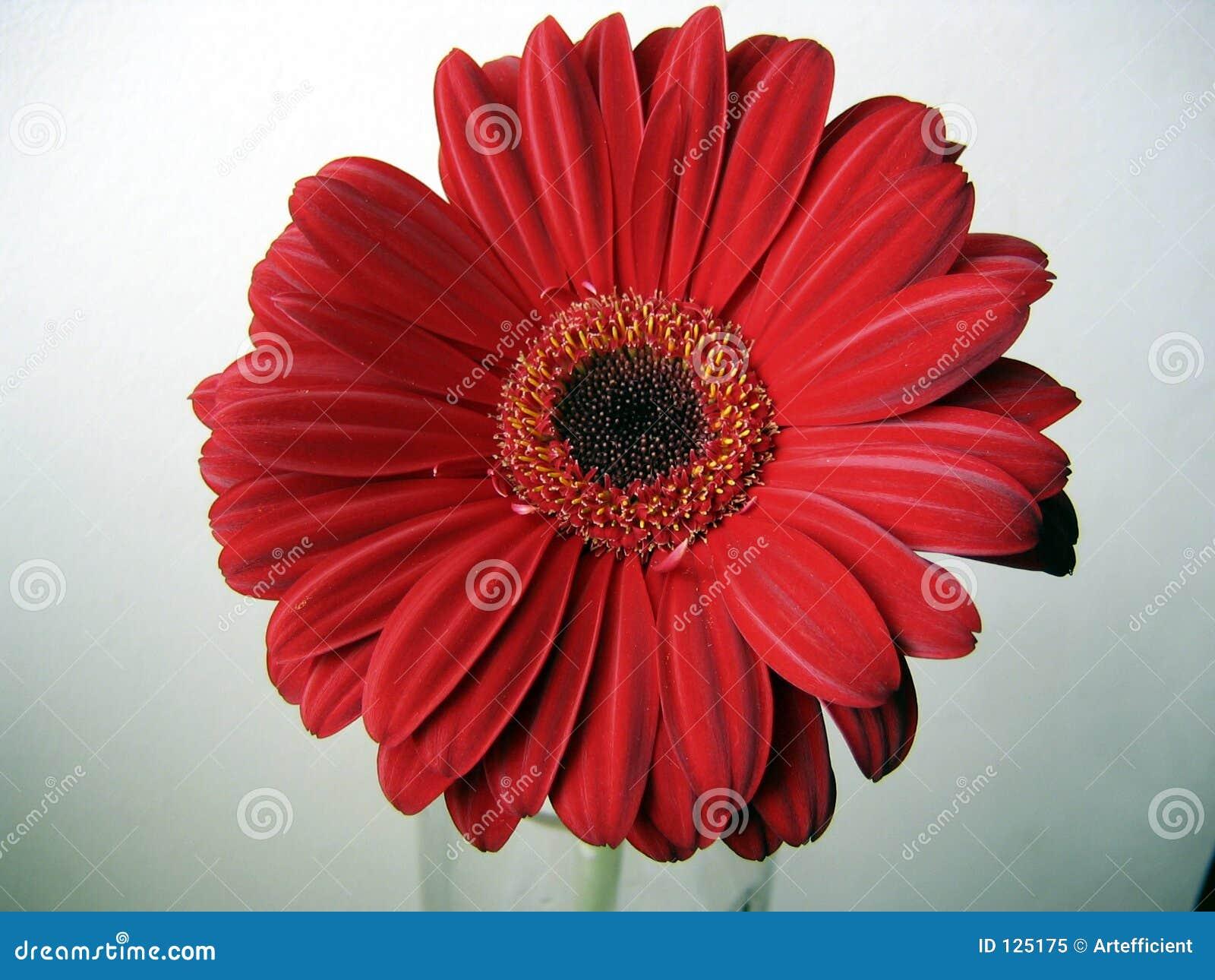 Profundamente - fim vermelho da opinião superior da flor do Gerbera acima no fundo verde