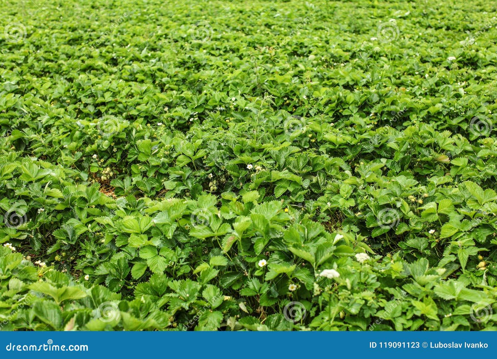 Profundidad baja de la foto del campo - campos strawaberry, con f inmadura
