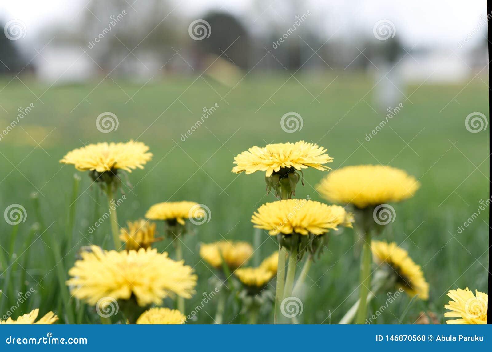 Profundidade de campo de flor do dente-de-leão de campo