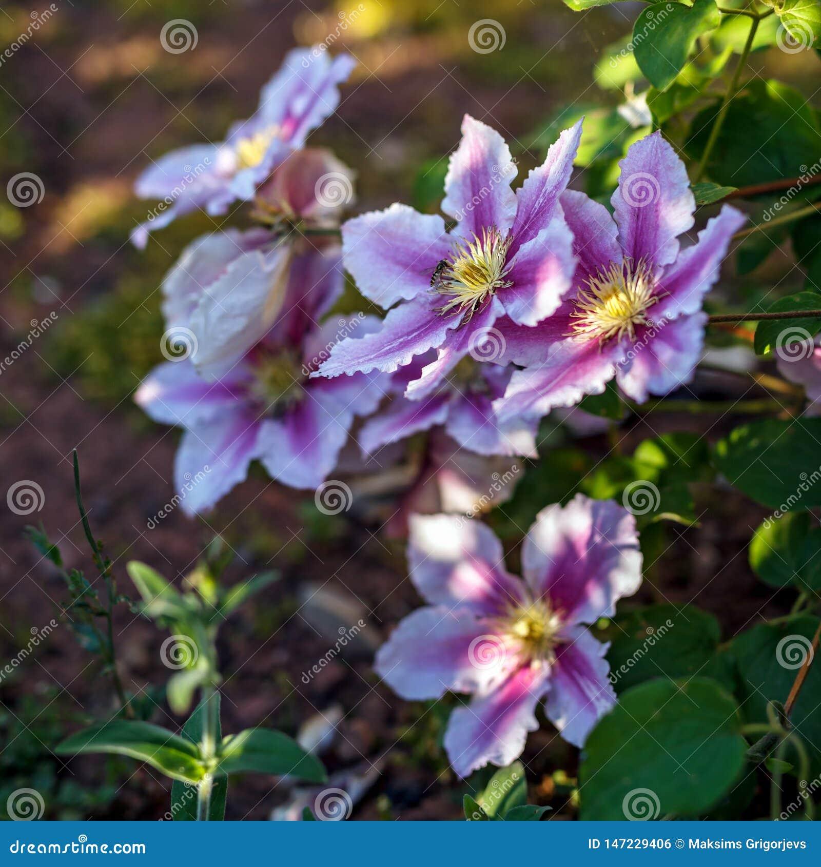 Profundo bonito - rosa, clematite roxa da flor no jardim