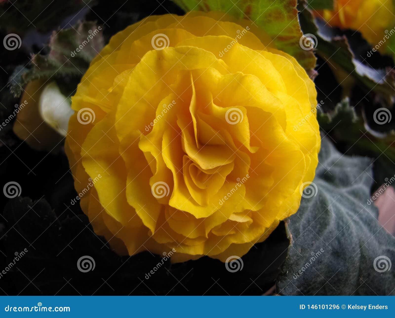 Profundo - dobro amarelo Impatiens