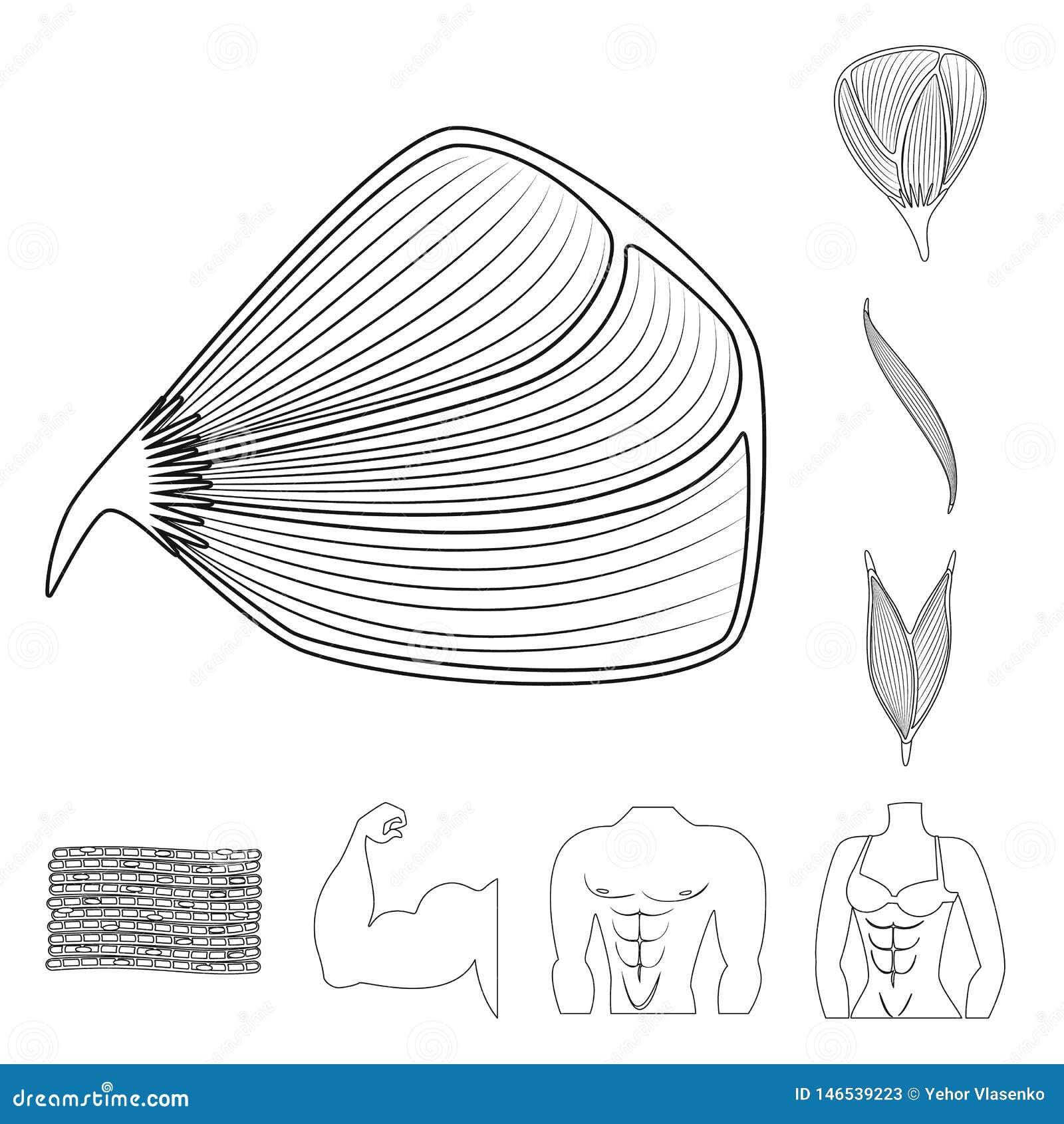 Progettazione di vettore di fibra e dell icona muscolare Raccolta dell illustrazione di vettore delle azione del corpo e della fi