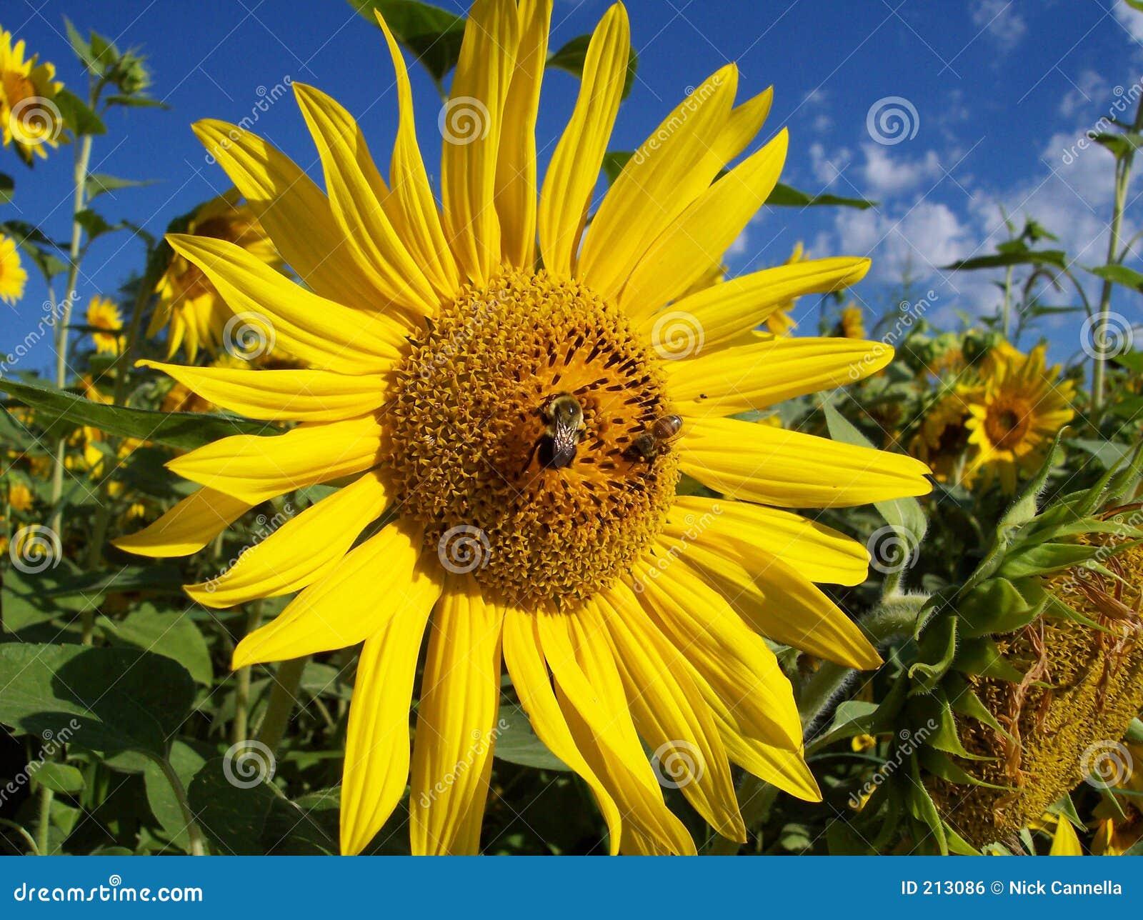 Promienie słonecznikowi