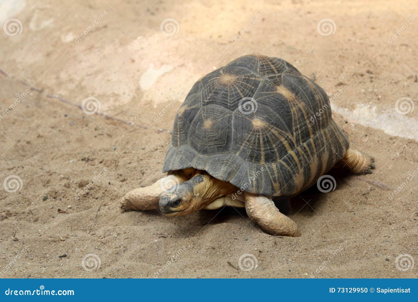 Promieniujący Tortoise