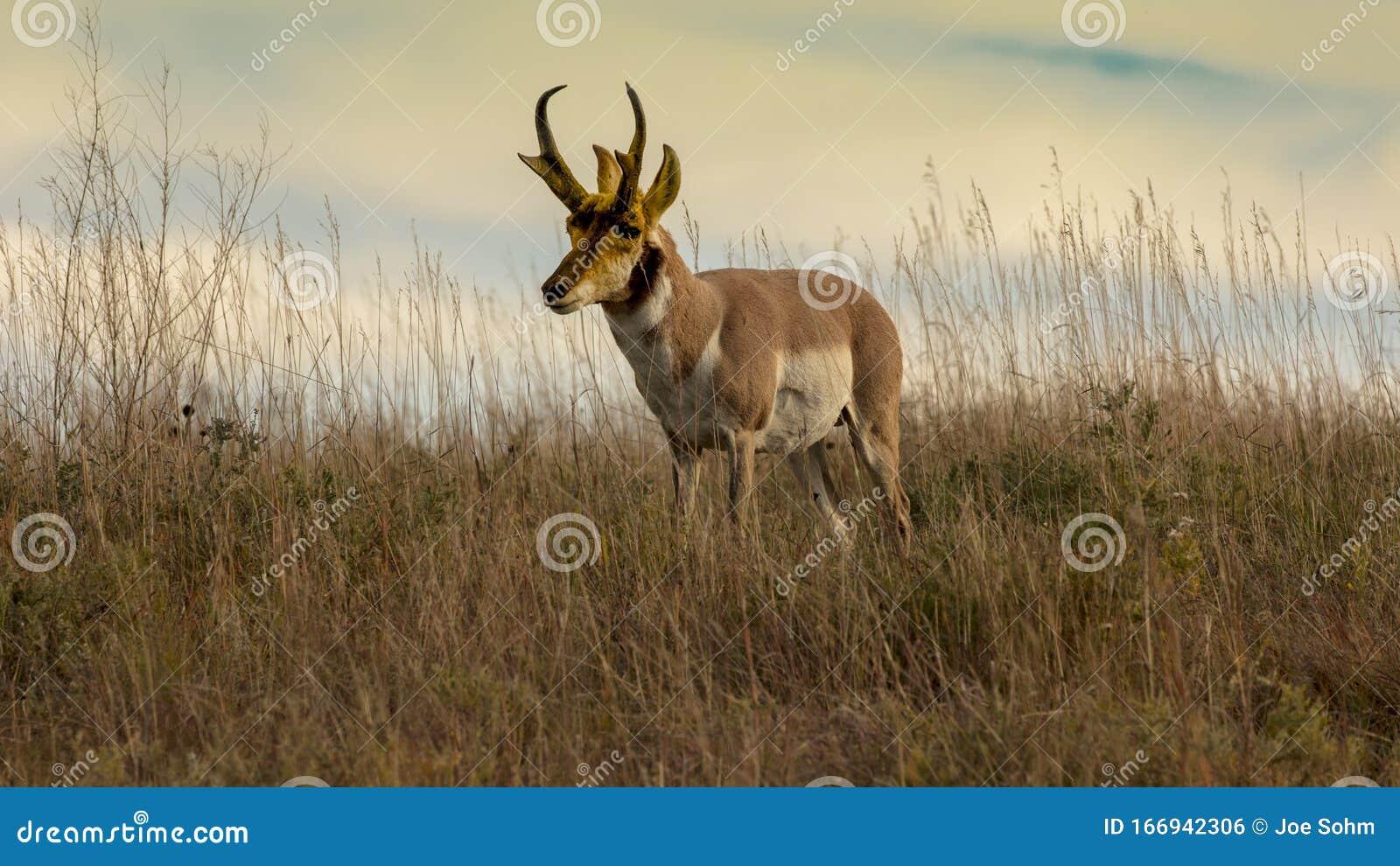 Pronghorn Antelope Fastest Animal In North America Custer State Park South Dakota Stock Photo Image Of Blue Landscape 166942306