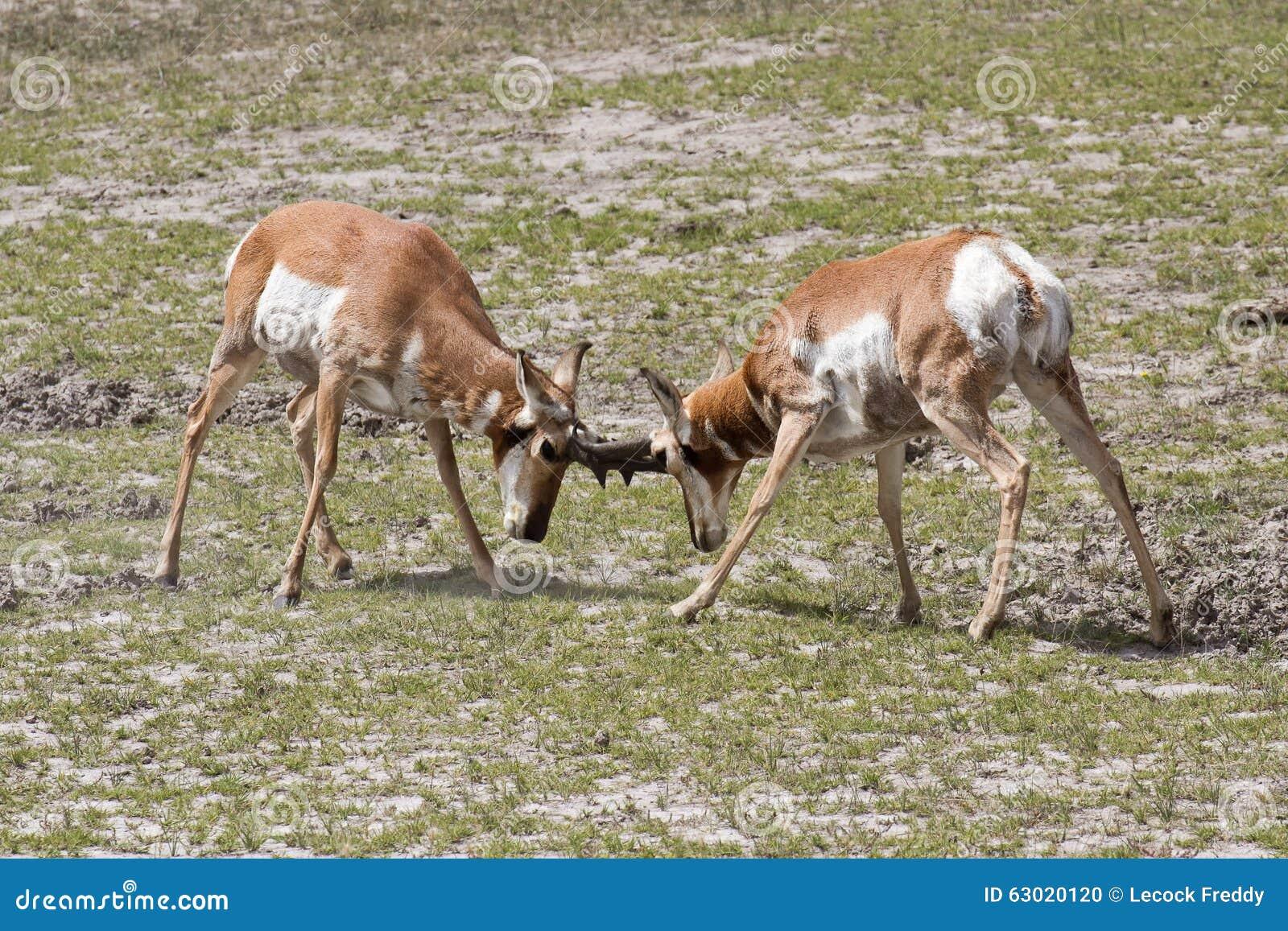 Pronghorn antelopes
