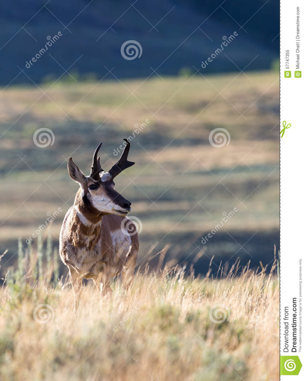 Pronghorn antilop