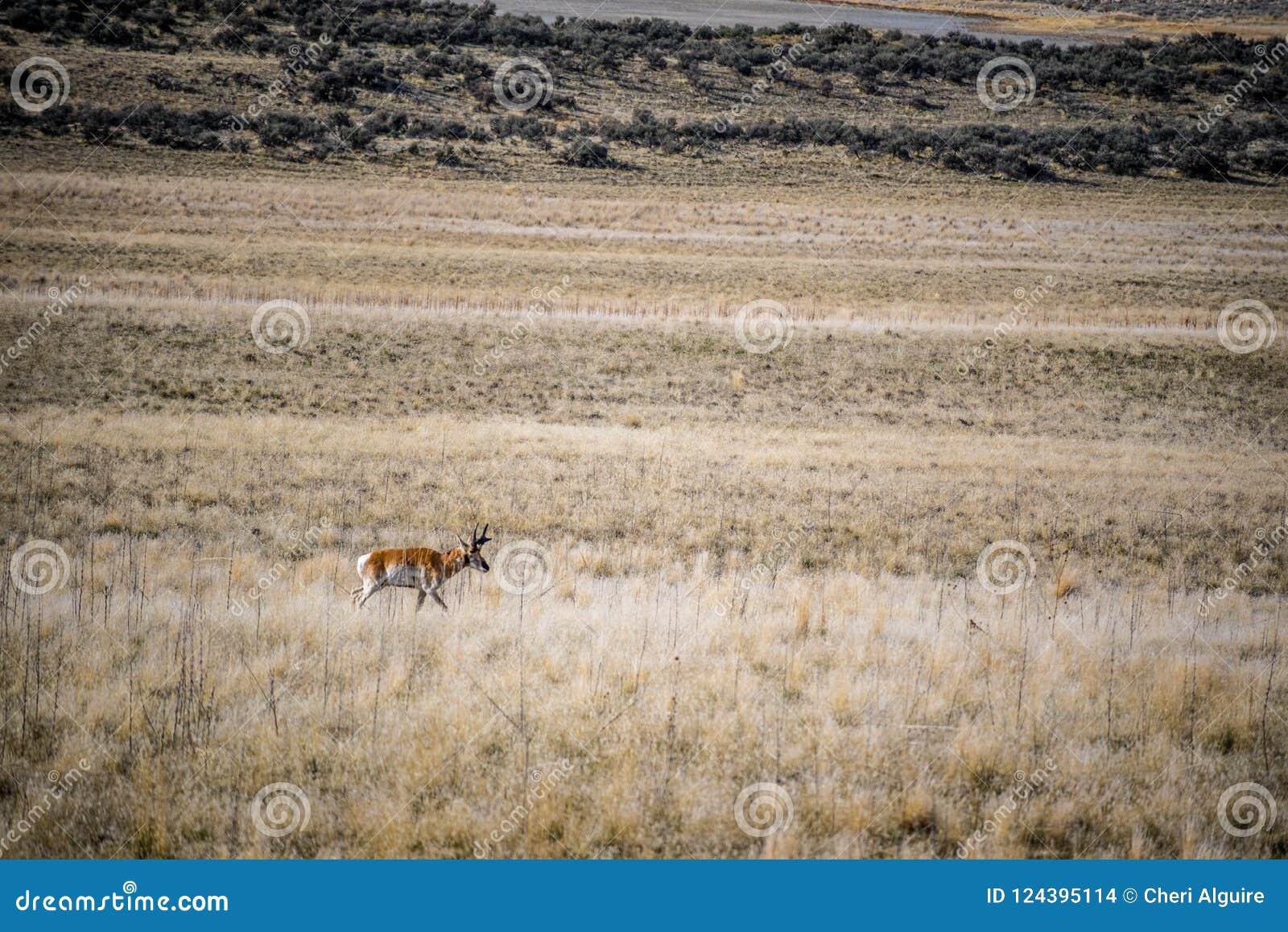Pronghorn i fältet av antilopödelstatsparken, Utah