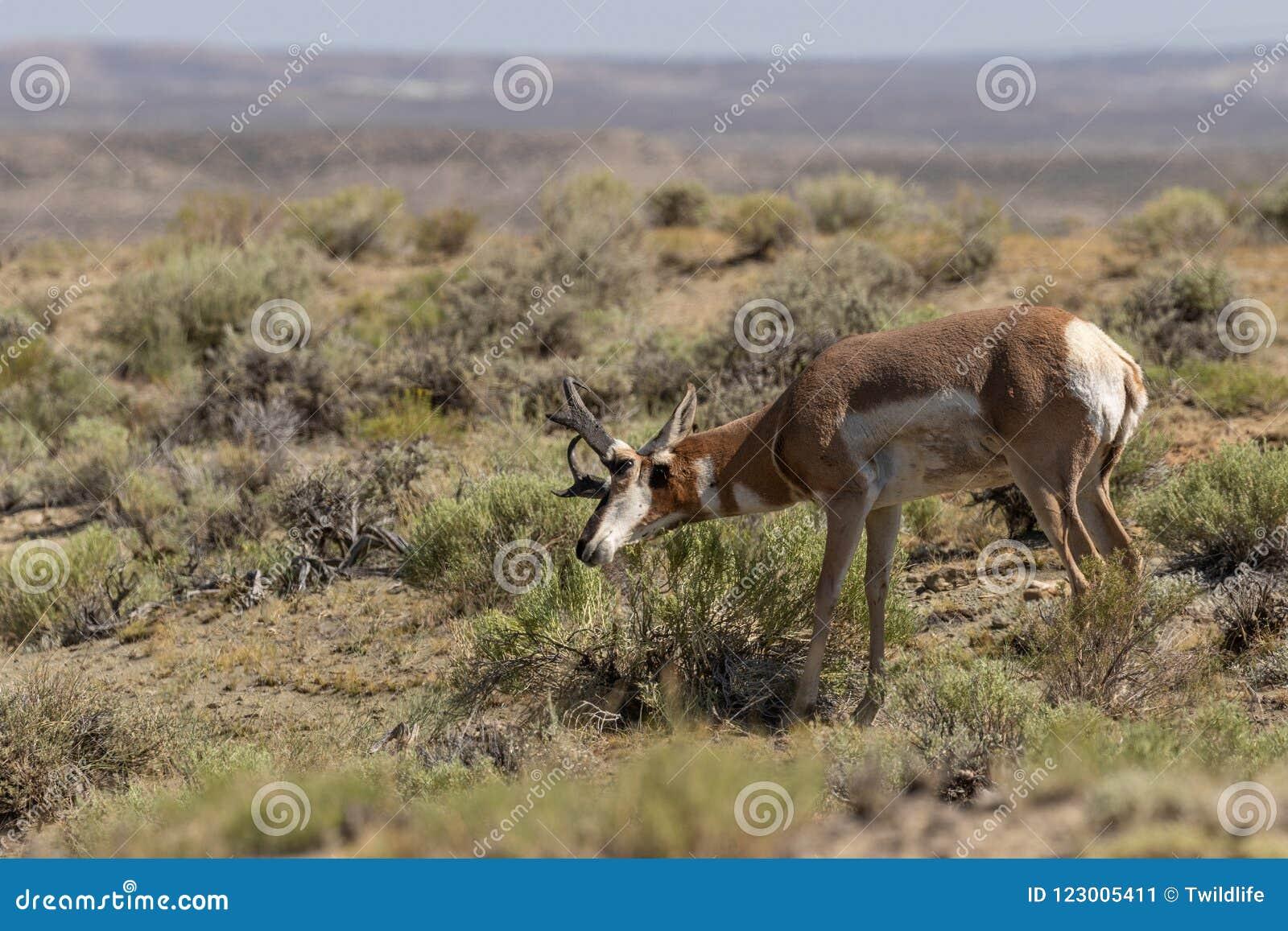 Pronghornantilope Buck Marking His Territory