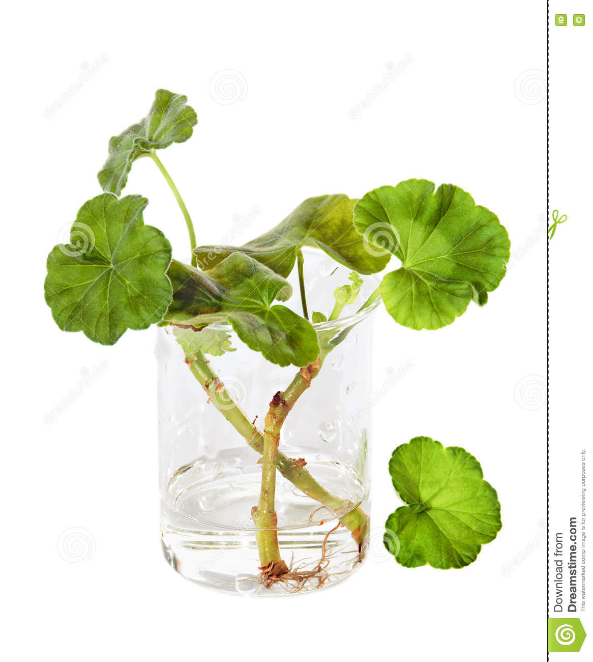 Propagation by cuttings of geranium stock image image of for Talea geranio