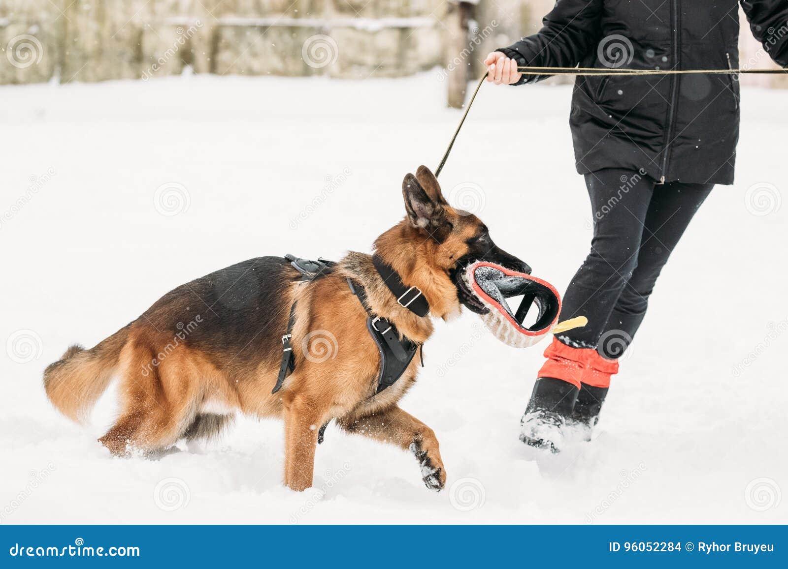 Propriétaire de Dog Walking Near de berger allemand pendant la formation Saison de l hiver