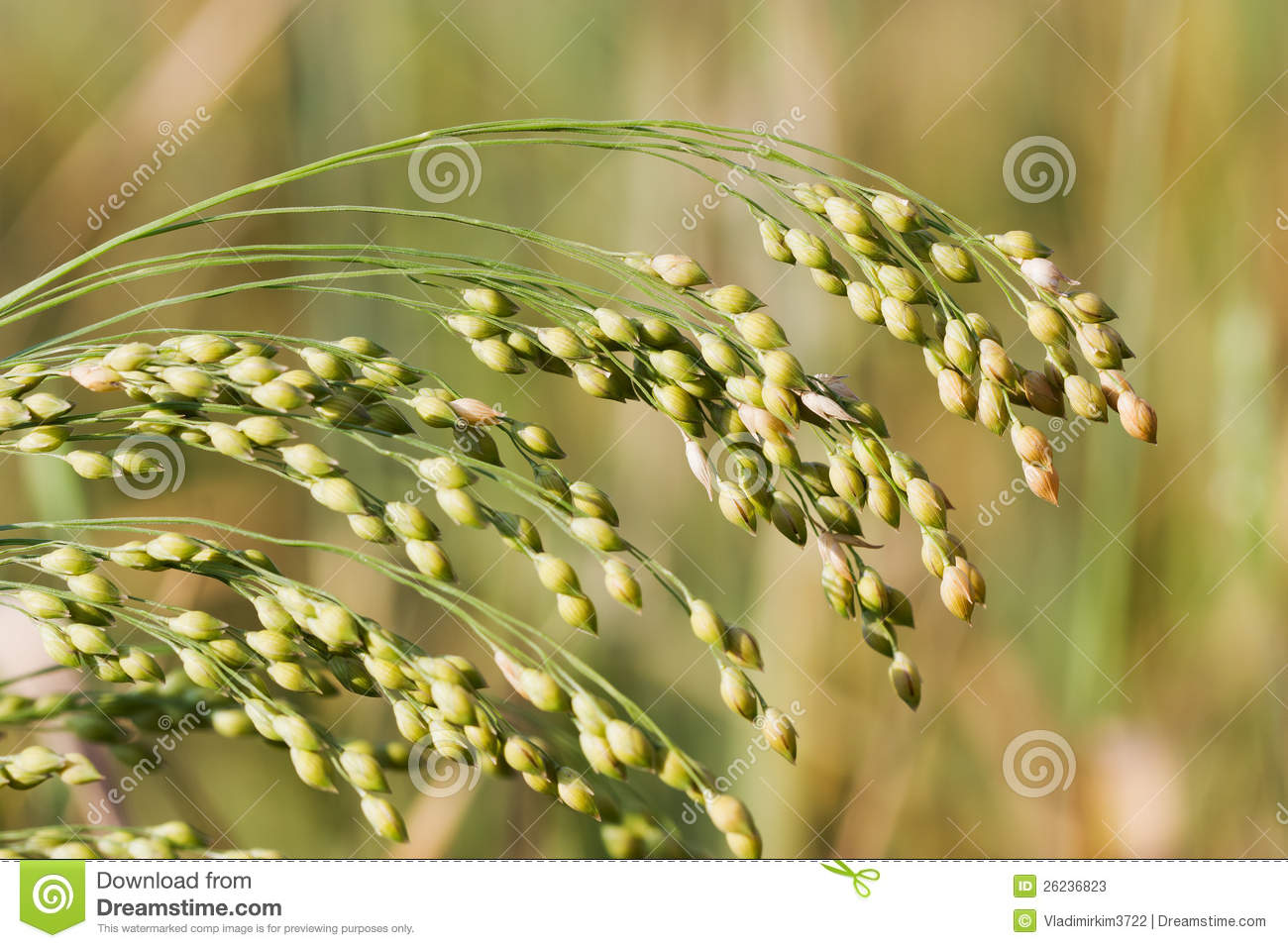 The proso millet plant stock image. Image of nutrition ...