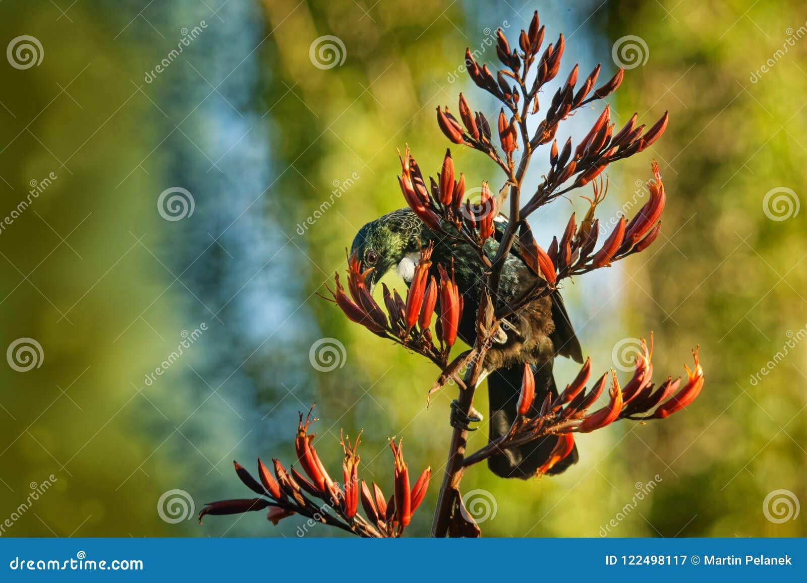 Prosthemadera novaeseelandiae - sammanträde för fågel för skog för Tui endemisk nyazeeländskt på filialen i skogen och sjunga
