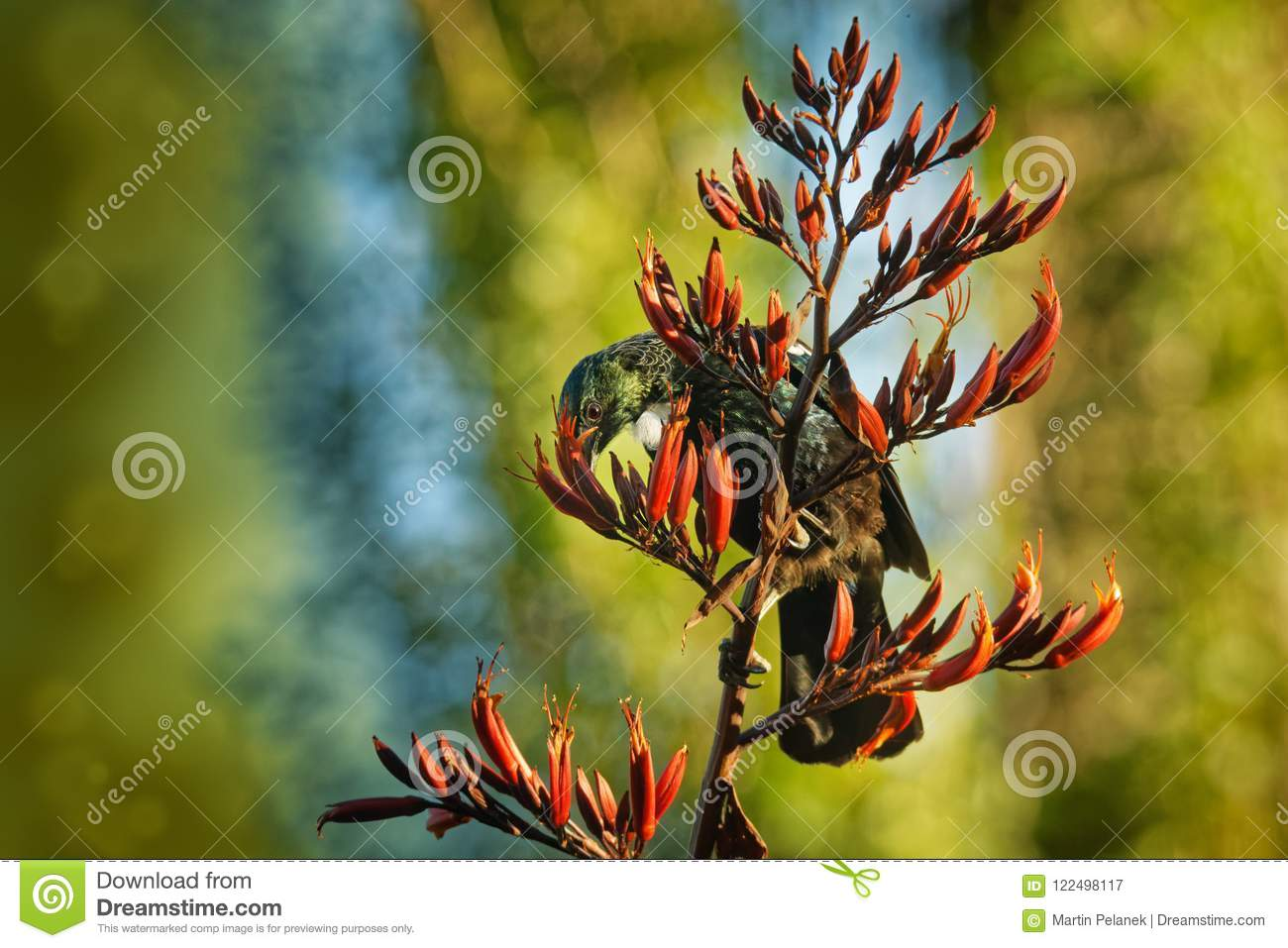 Prosthemadera novaeseelandiae - Tui endemic New Zealand forest bird sitting on the branch in the forest and singing