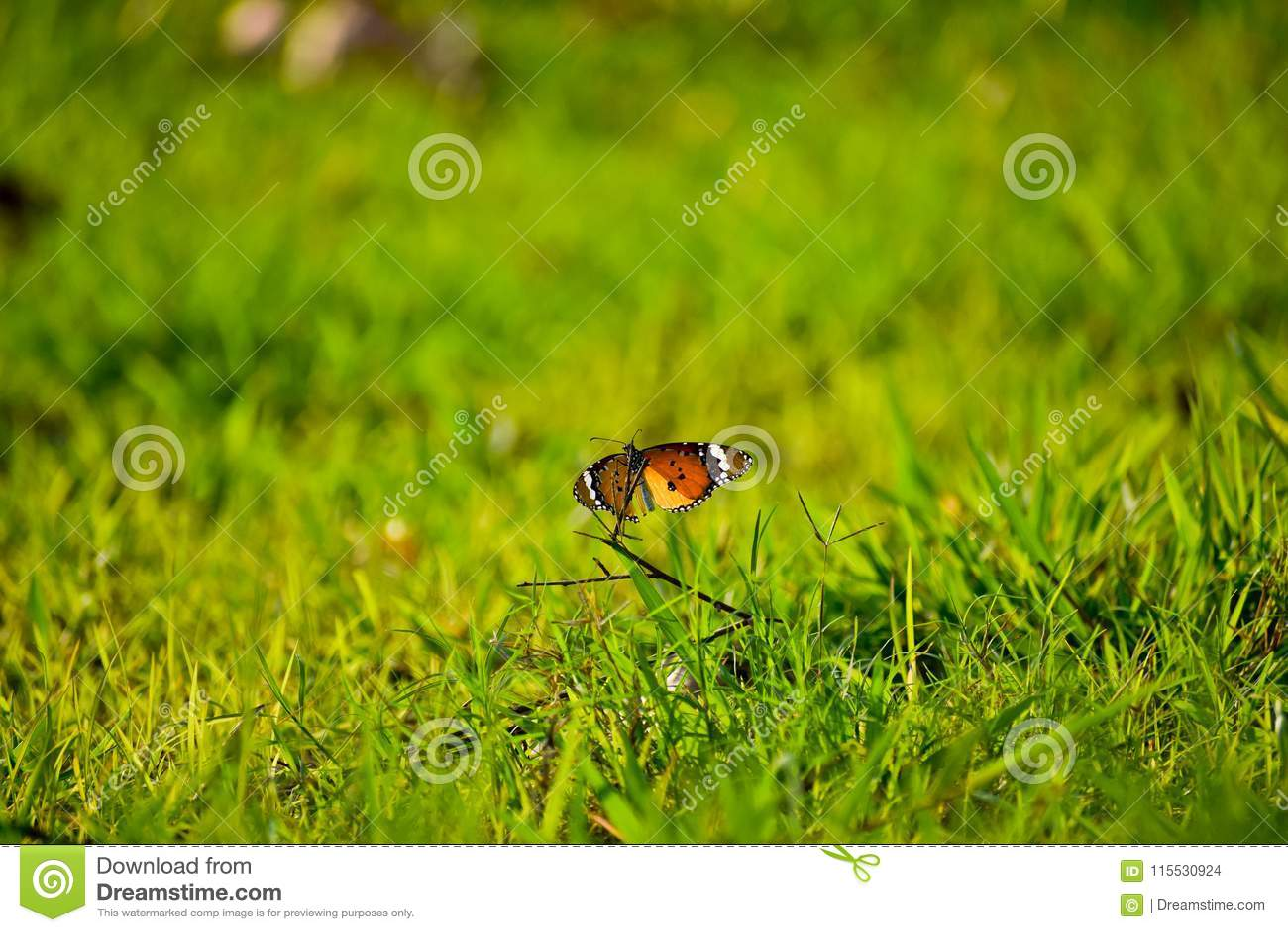 Prosty Tygrysi motyl w zieleni