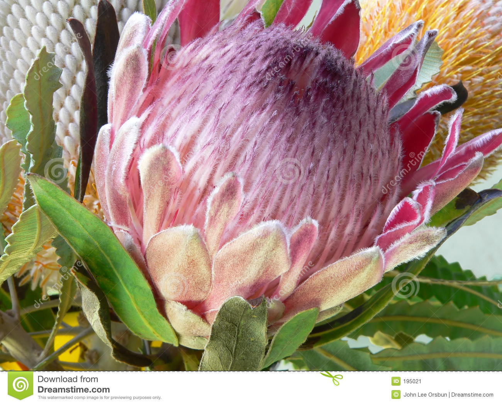 Protea цветка eximia aka