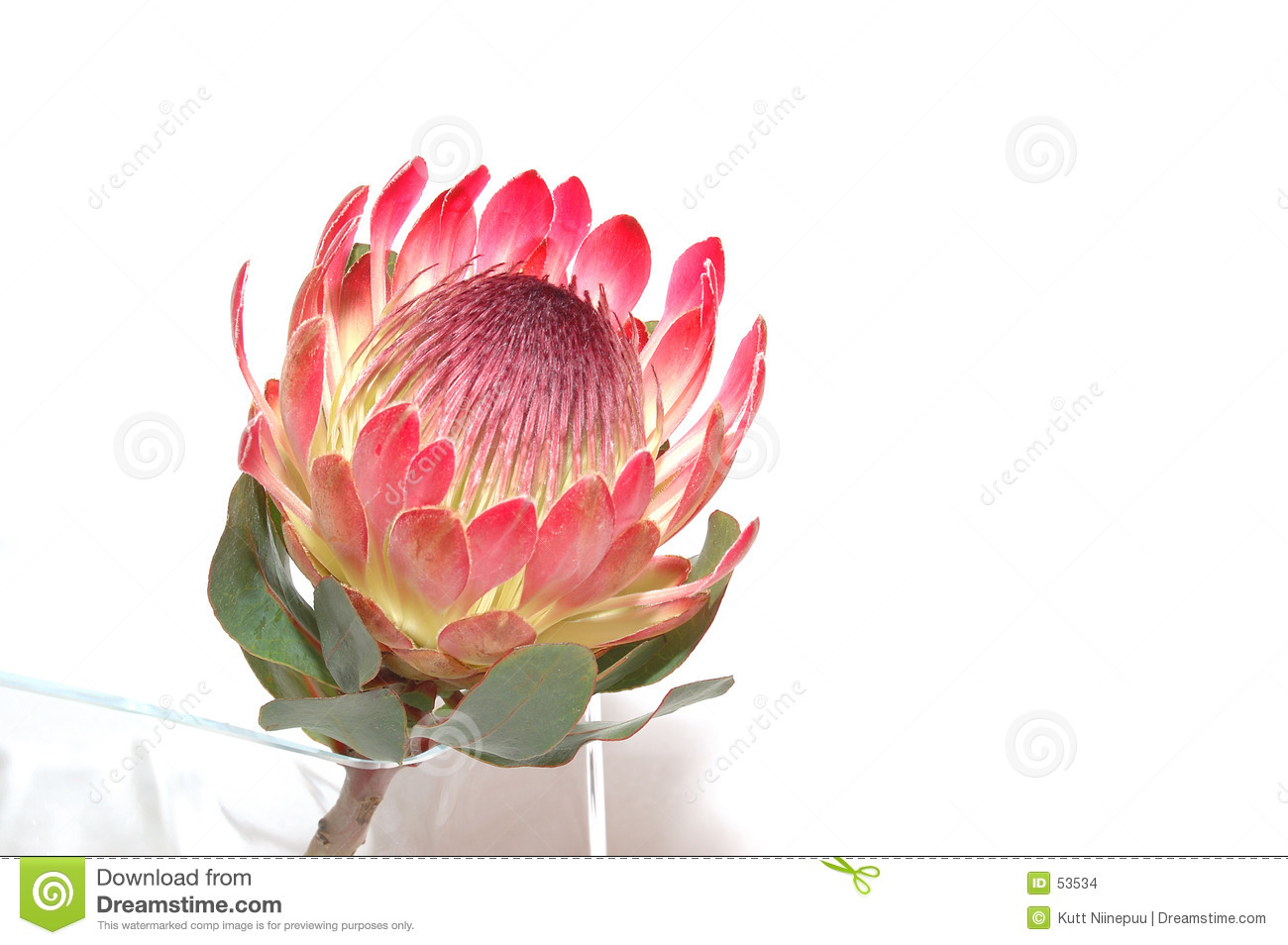 Closeup of a rare flower - Protea.Read more about it here.