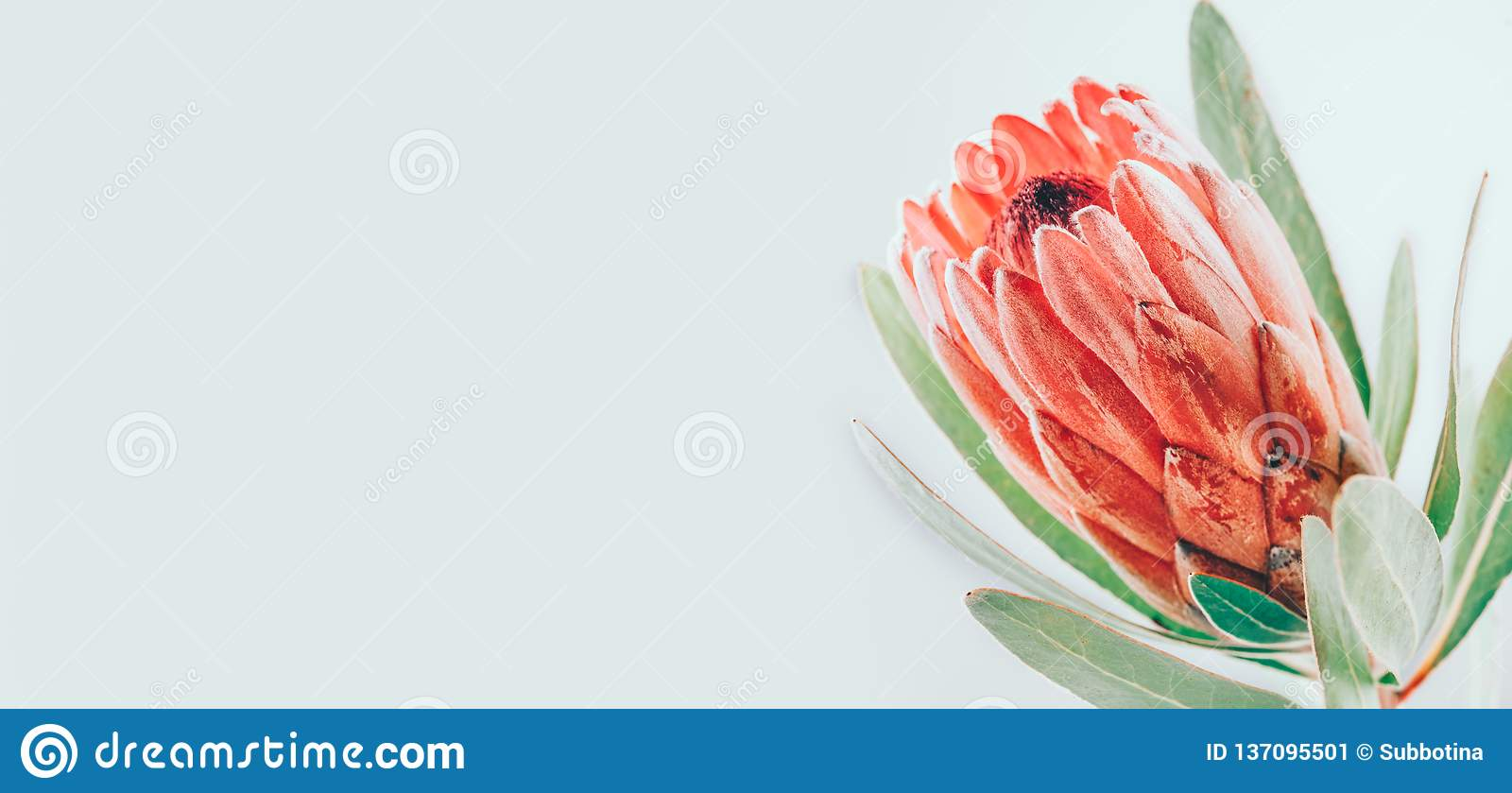 Protea bud closeup. Pink King Protea flower isolated on grey background. Beautiful fashion flower macro shot. Valentine`s Day