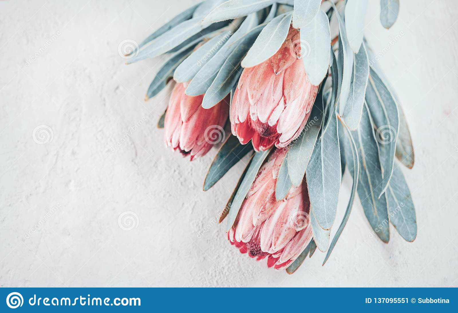 Protea buds closeup. Bunch of pink King Protea flowers over grey background. Valentine`s Day