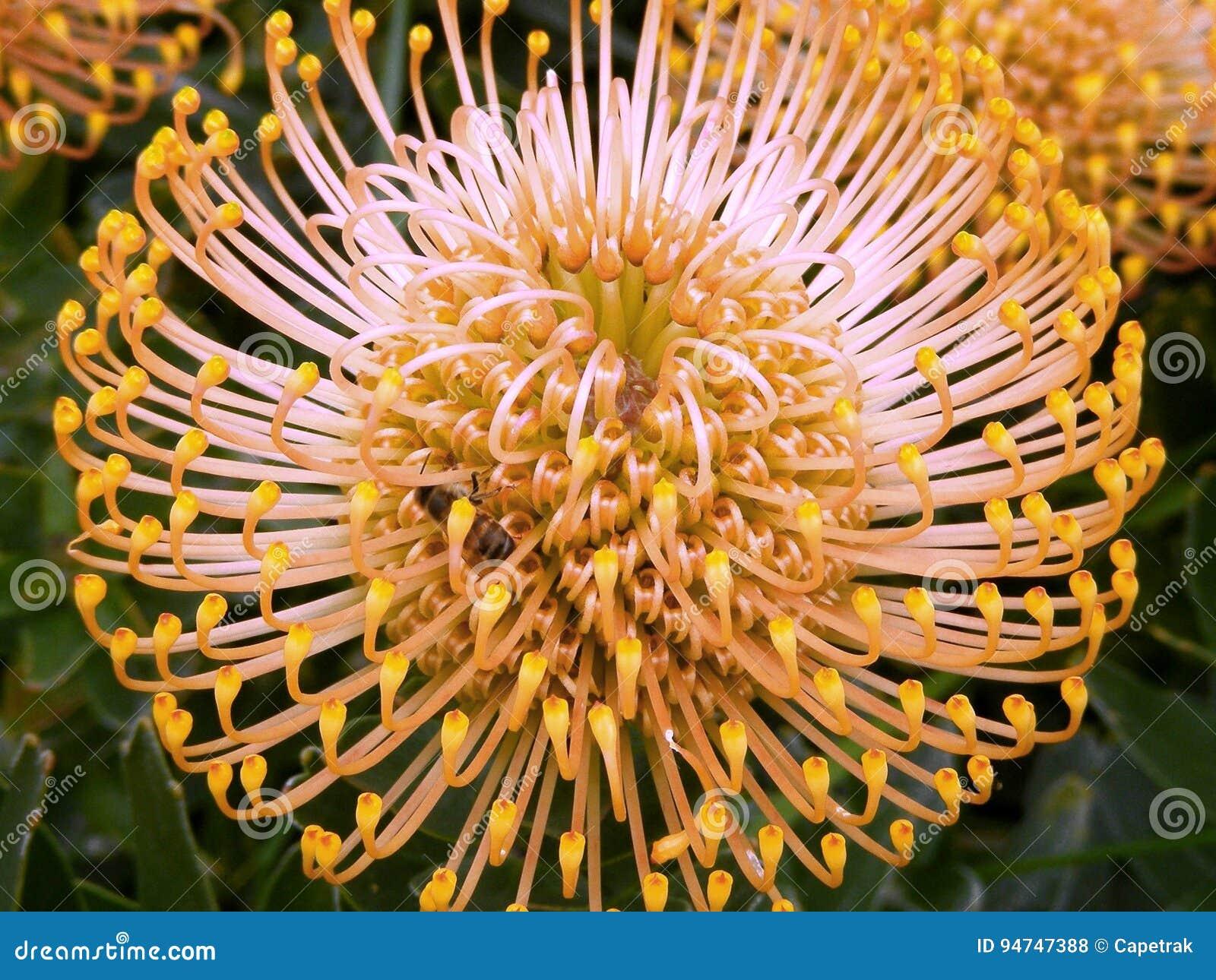 Protea de Leucospermum
