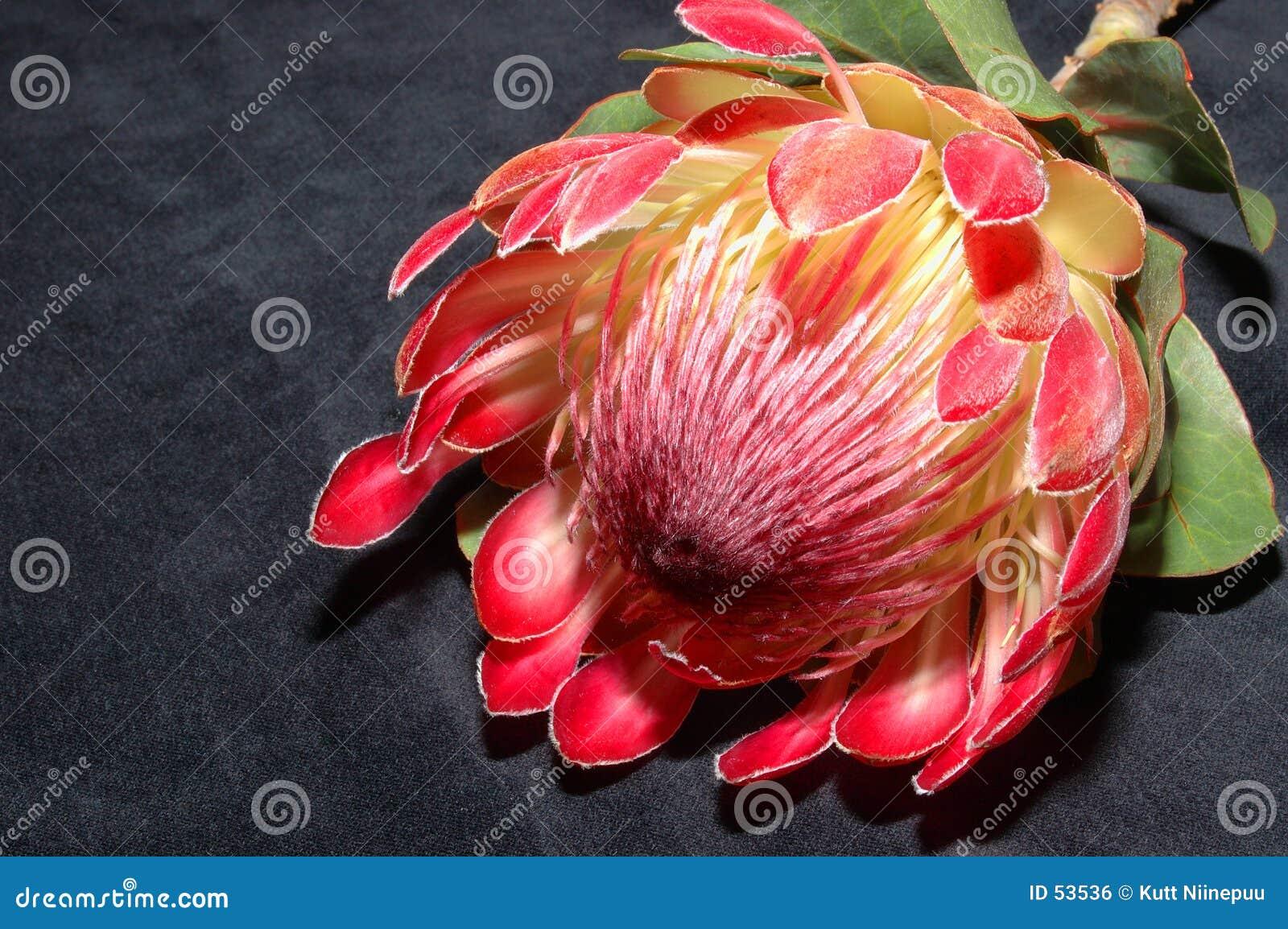Protea en negro