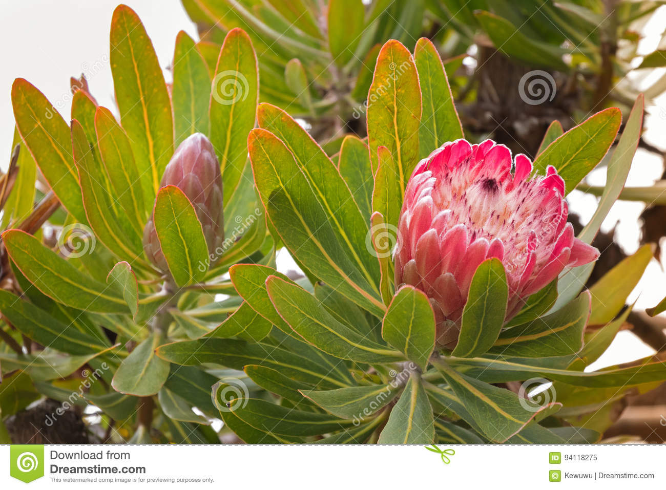 Protea flower head in red pink bract with white hairy feathery f soft focus of protea flower head in red pink bract with white hairy feathery flower blossoming in tasmania australia mightylinksfo