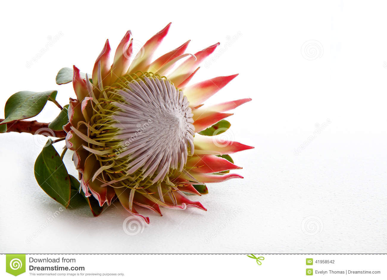 Protea Flower Isolated On White Background Stock Photo - Image ...