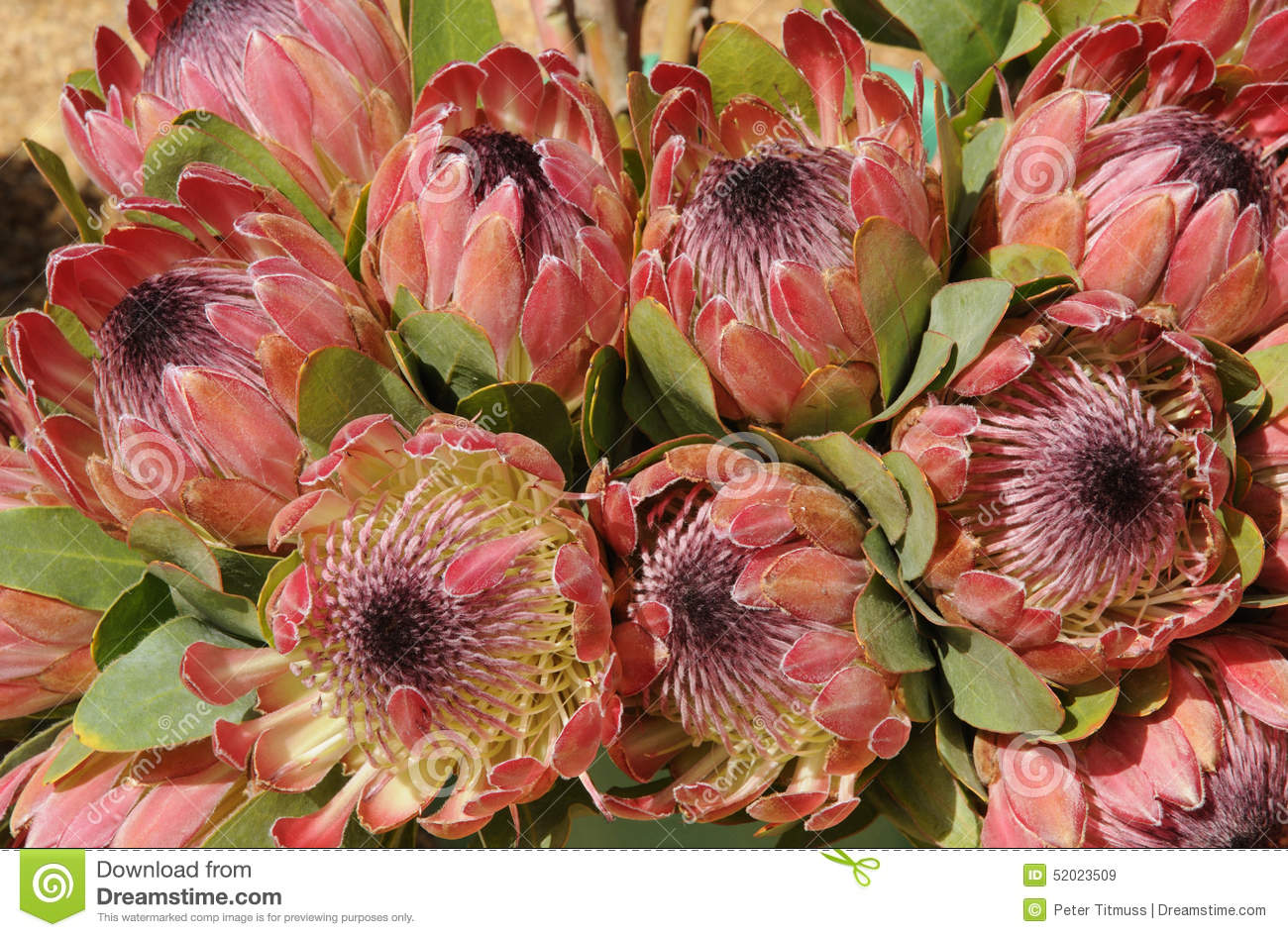protea flowers stock image image of cape bunches national 52023509