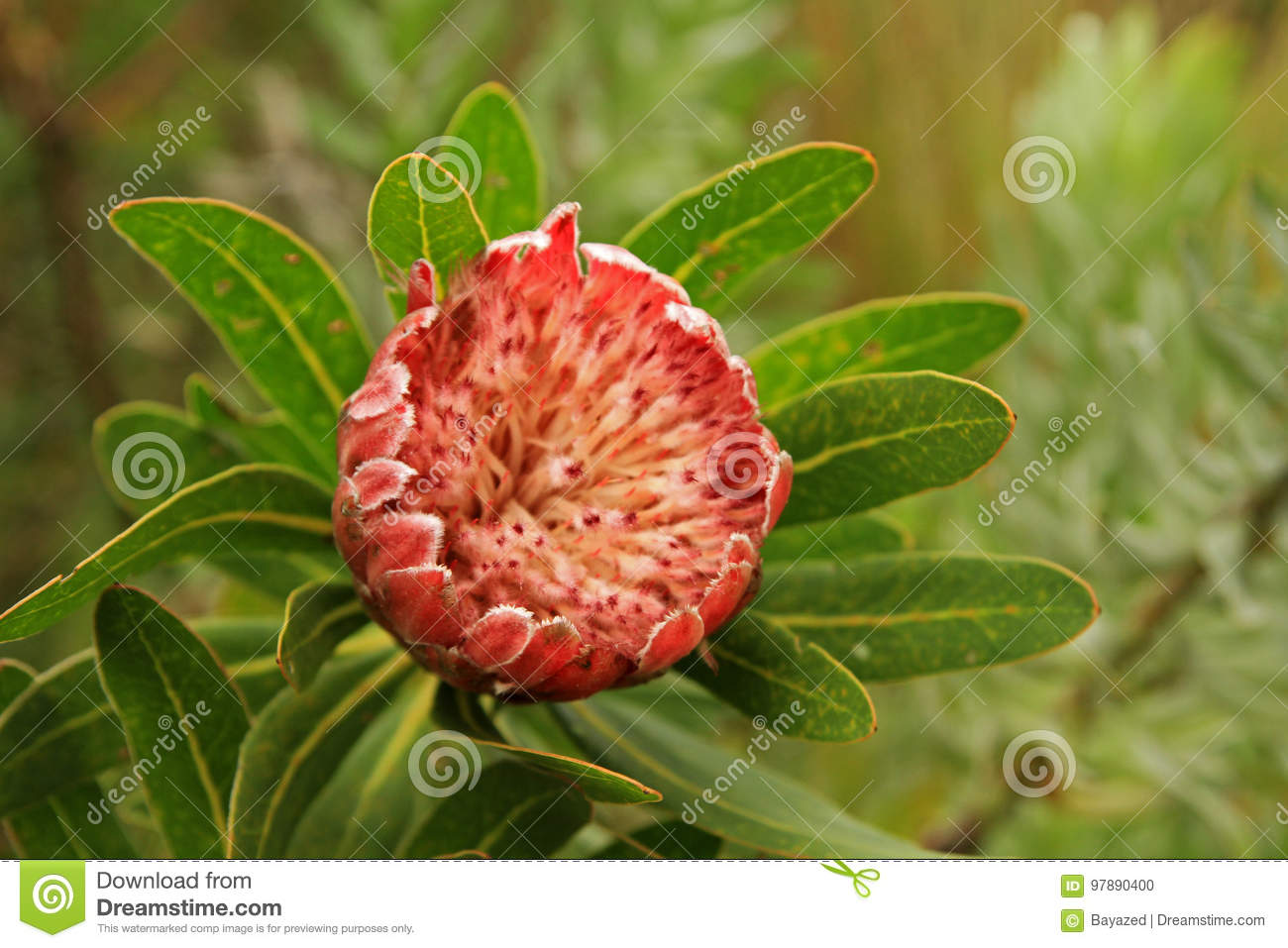 protea national flower of south africa stock photo image of