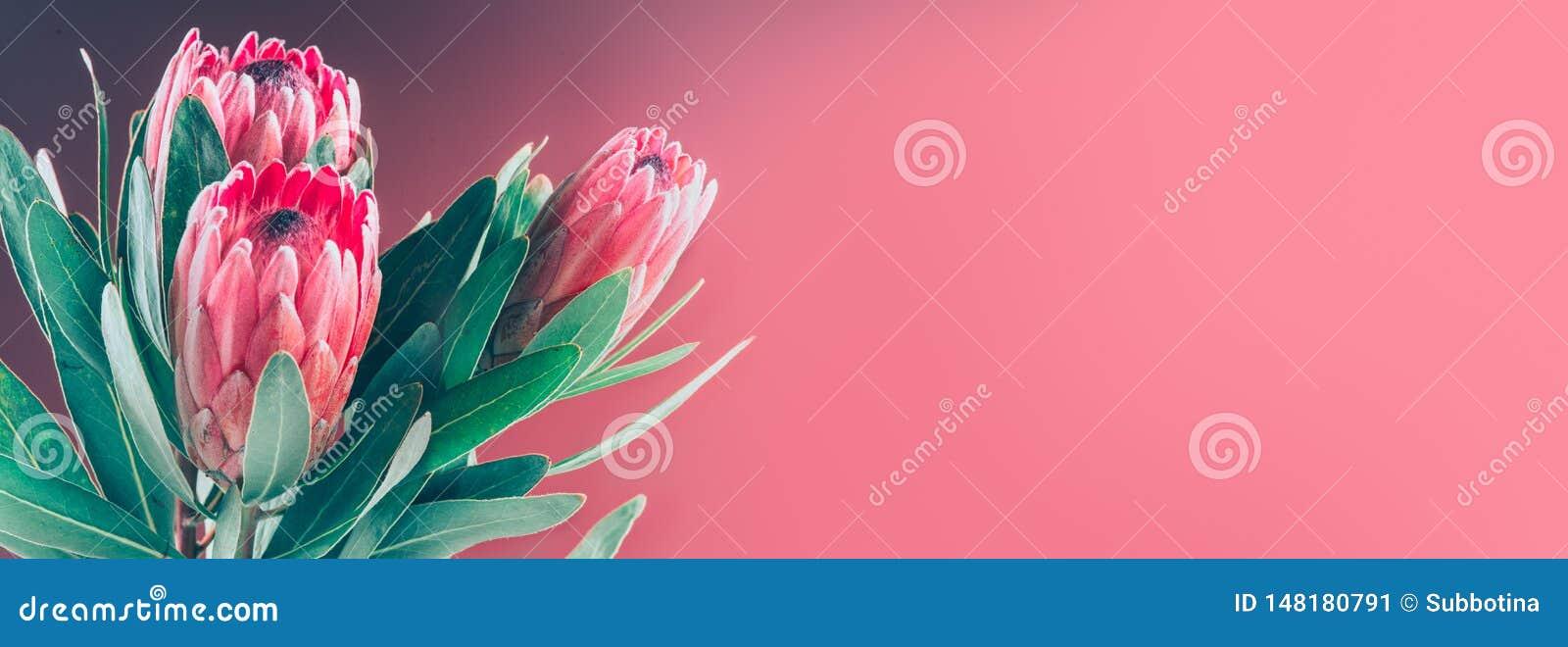 Proteaknoppcloseup Grupp av r?da blommor f?r konung Protea Bukett f?r dag f?r valentin` s Widescreen