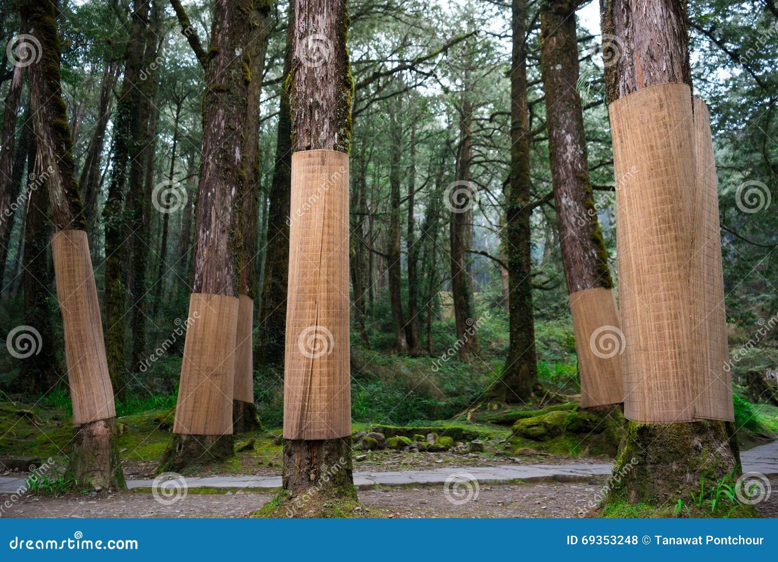 protection de tronc d 39 arbre avec le tapis en bambou photo stock image du sapling for t 69353248. Black Bedroom Furniture Sets. Home Design Ideas