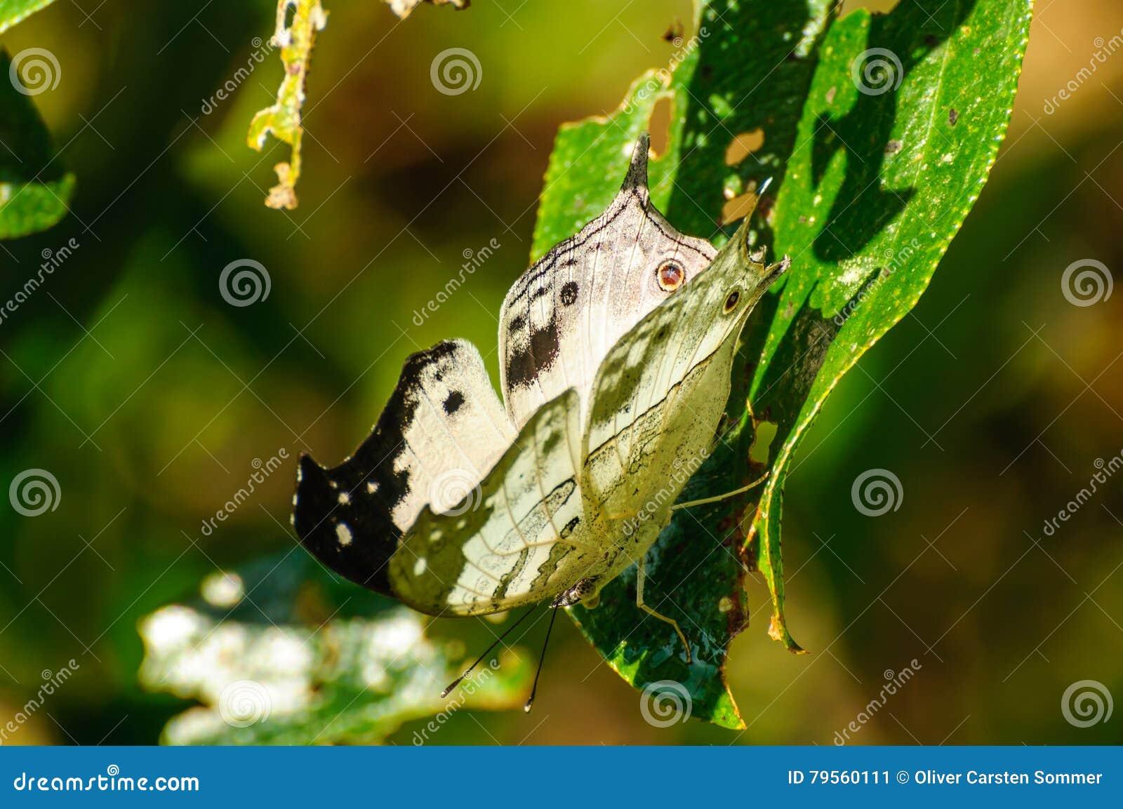 Protogoniomorpha Anacardii Duprei
