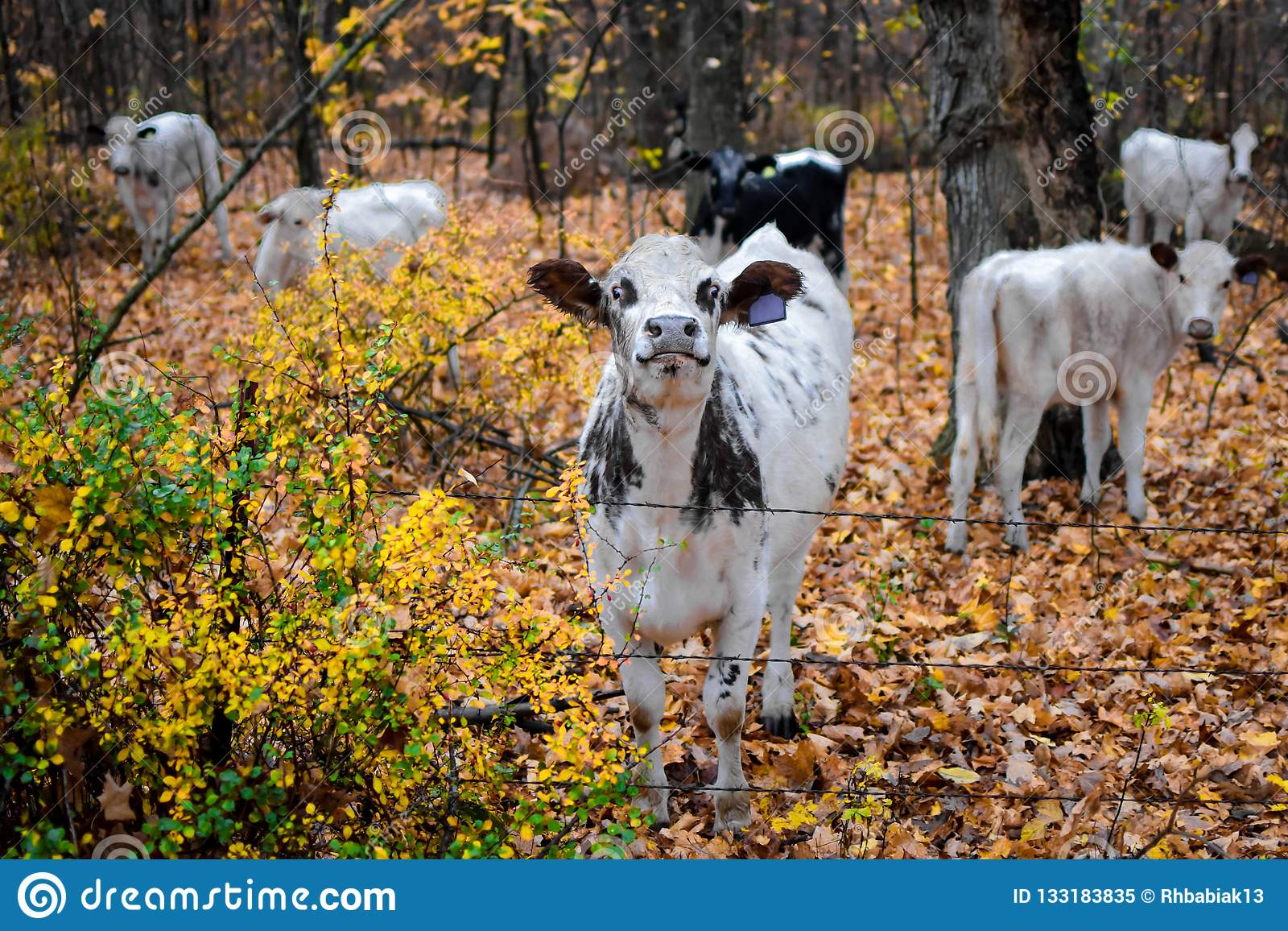 Proud Black and White Cow in Fall