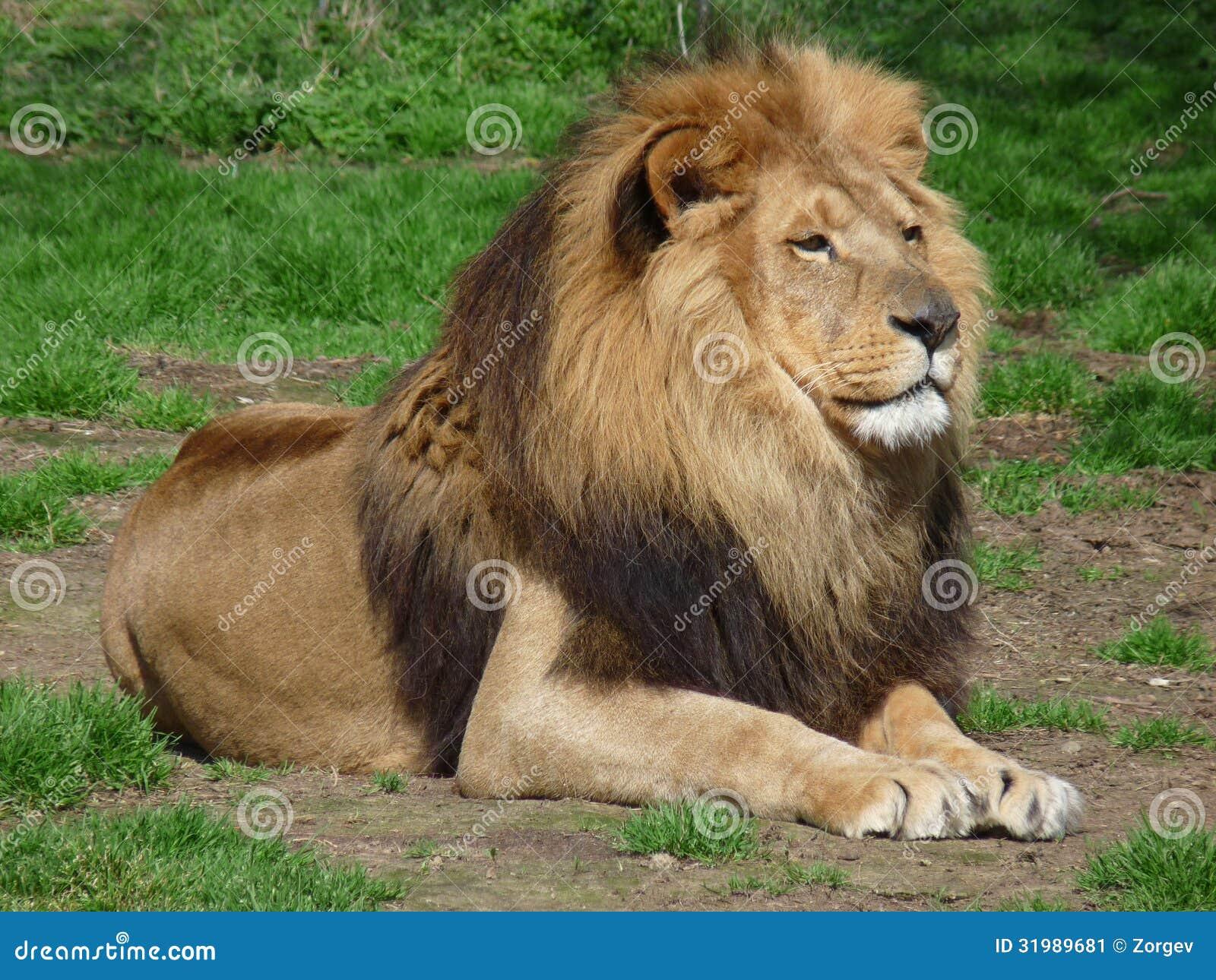 Lion sitting - photo#18