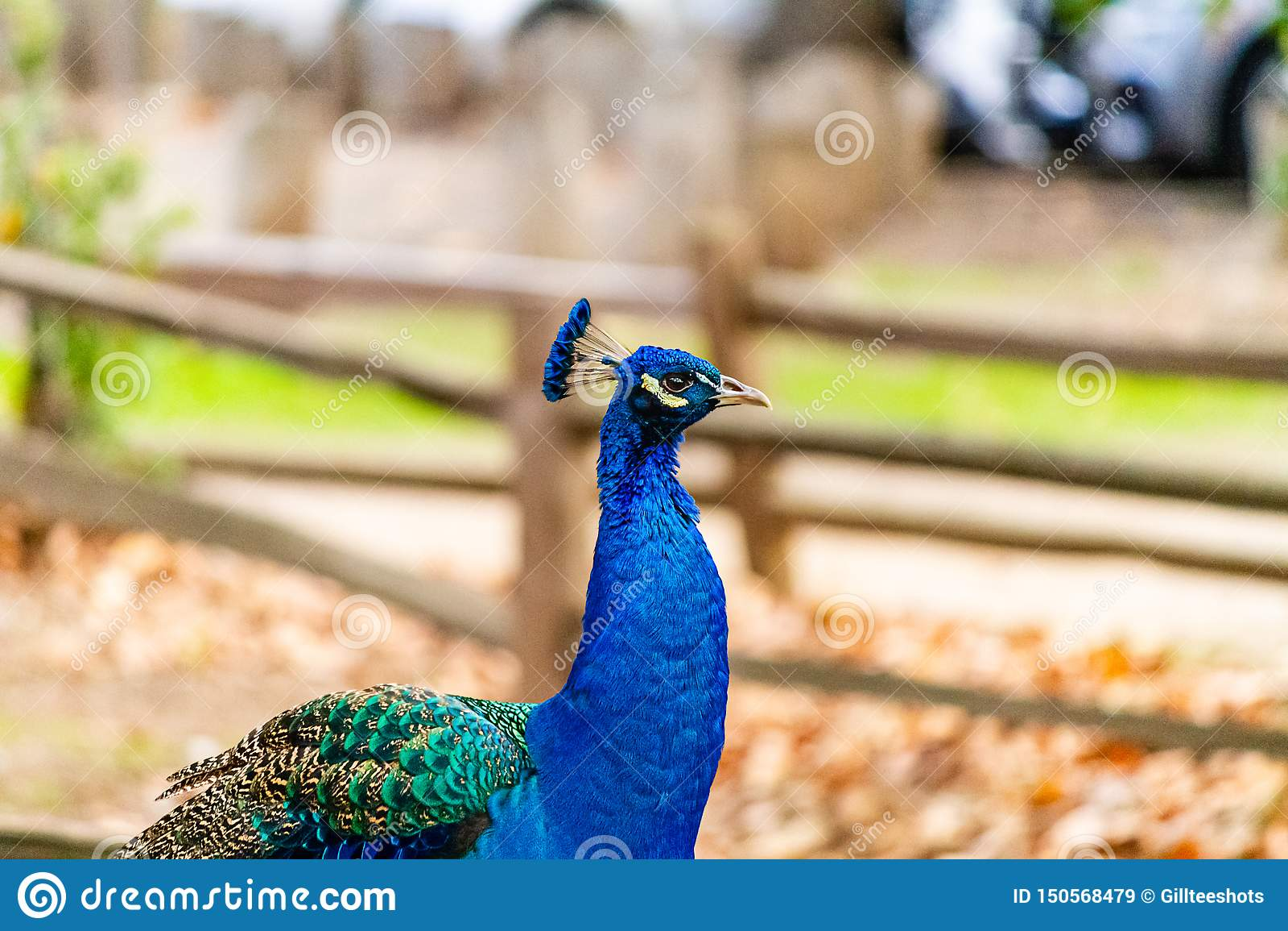 A Proud Peacock Portrait on a farm