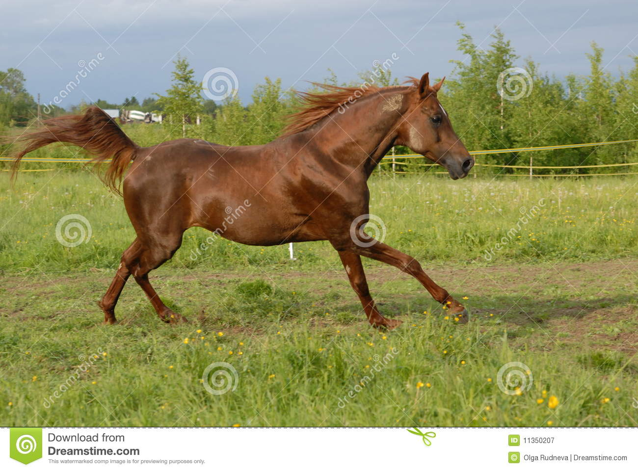 proud red arabian horse gallop stock image image 11350207