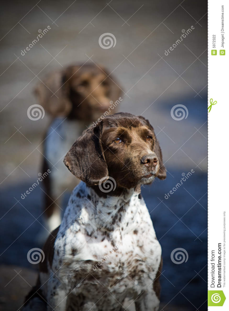Springer Spaniel Working