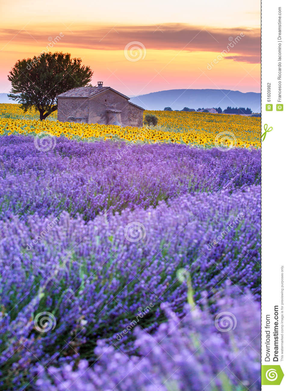 Provence, France, Valensole Plateau with purple lavender field