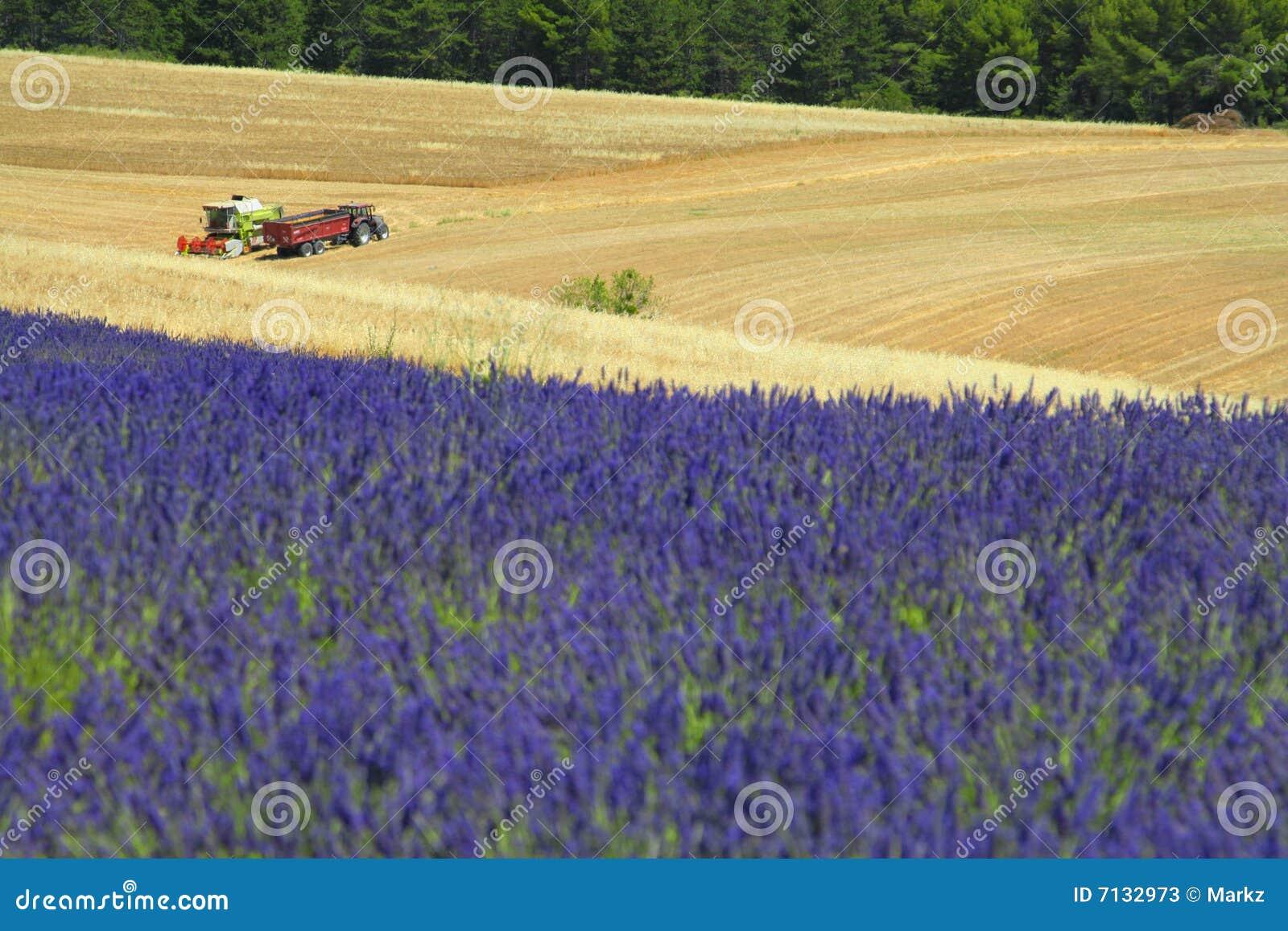 Provence-Lavendelfeld