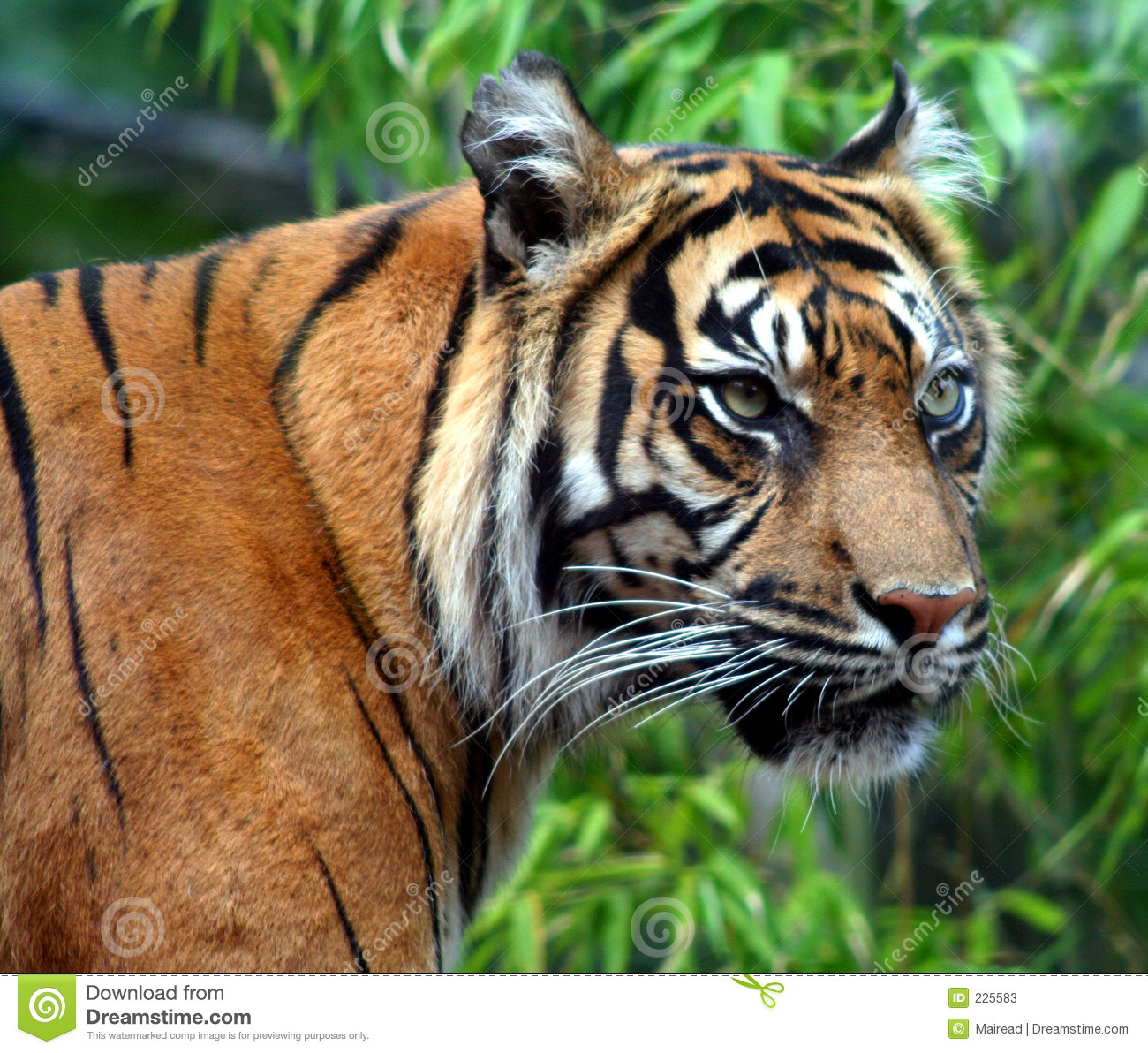 Download On the Prowl stock image. Image of stripes, predator, stealth - 225583