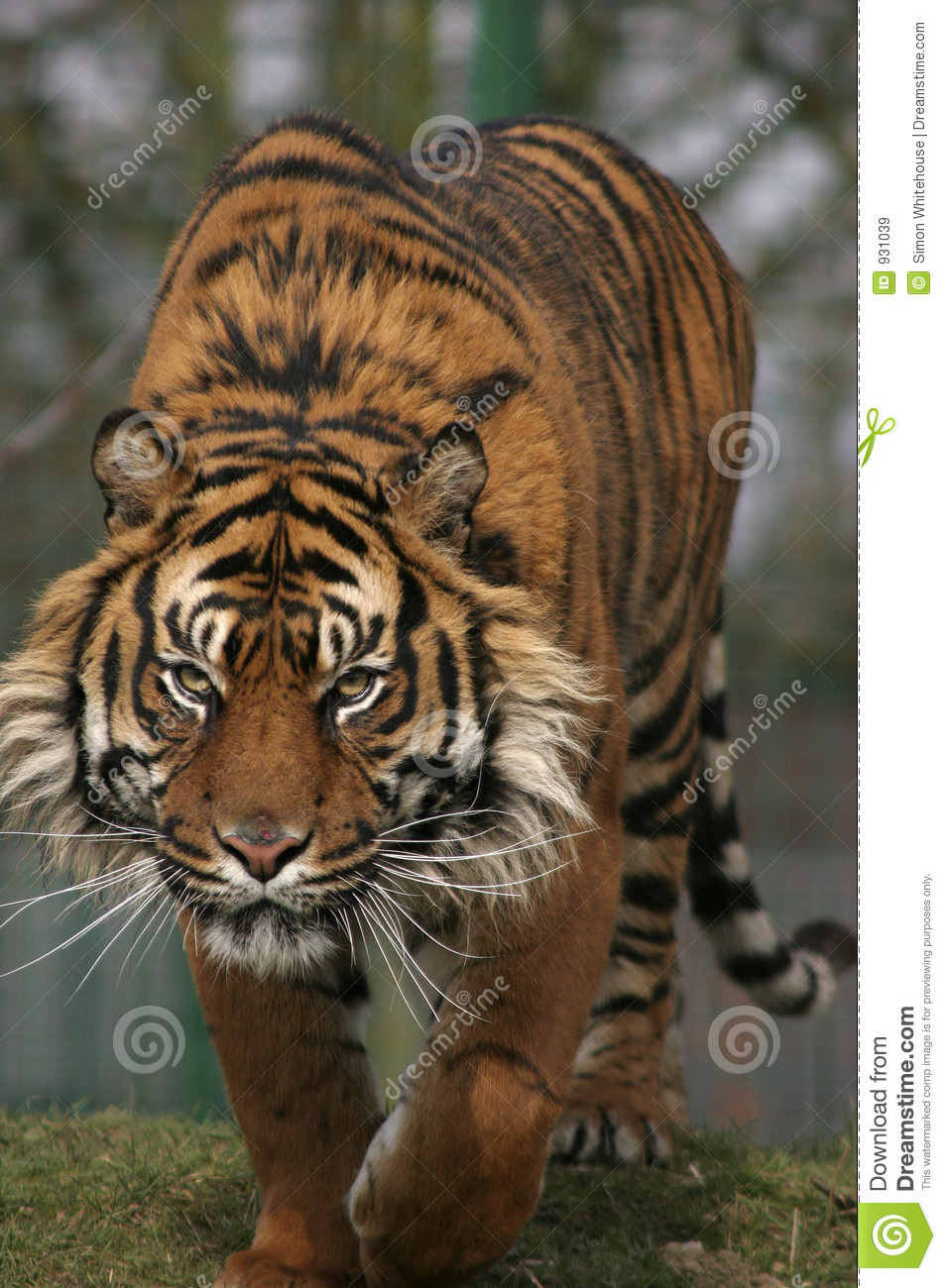 prowling tiger royalty free stock images