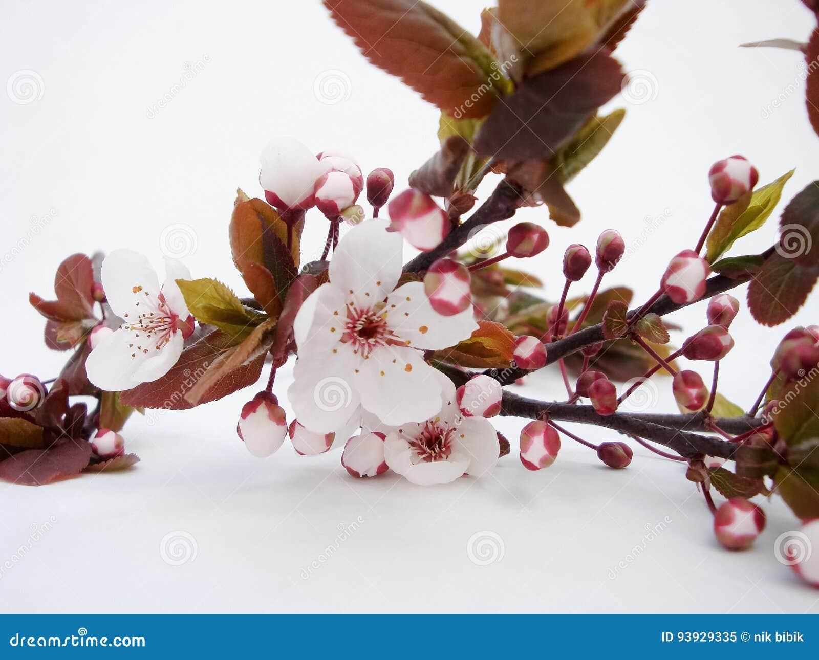 Prugna selvatica di fioritura Ramoscello sopra